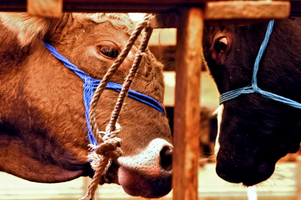 Как в домашних условиях забивают корову