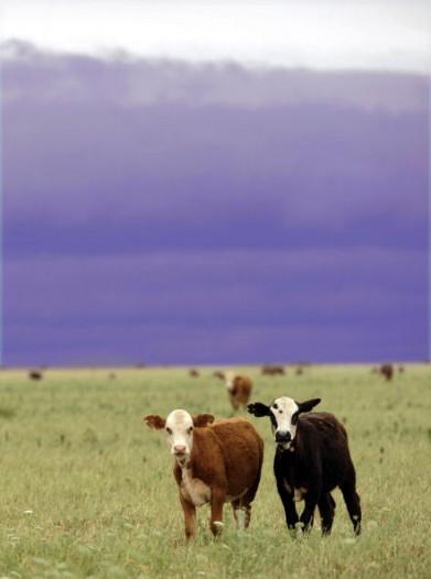 Cattle graze at a ranch