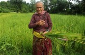 Indian villager in paddy in West Bengal Sept 2011