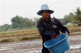 thai farmer plants rice