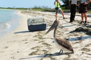 A Brown Pelican prepares to enter the water at the Egmont Key National Wildlife Refuge near St. Petersburg May 23, 2010. The bird was rescued and cleaned by U.S. Fish and Wildlife Service after being found oiled near Louisiana's coast. U.S. Coast Guard photo by Petty Officer 3rd Class Nick Ameen.