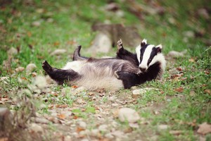Badger Relaxing