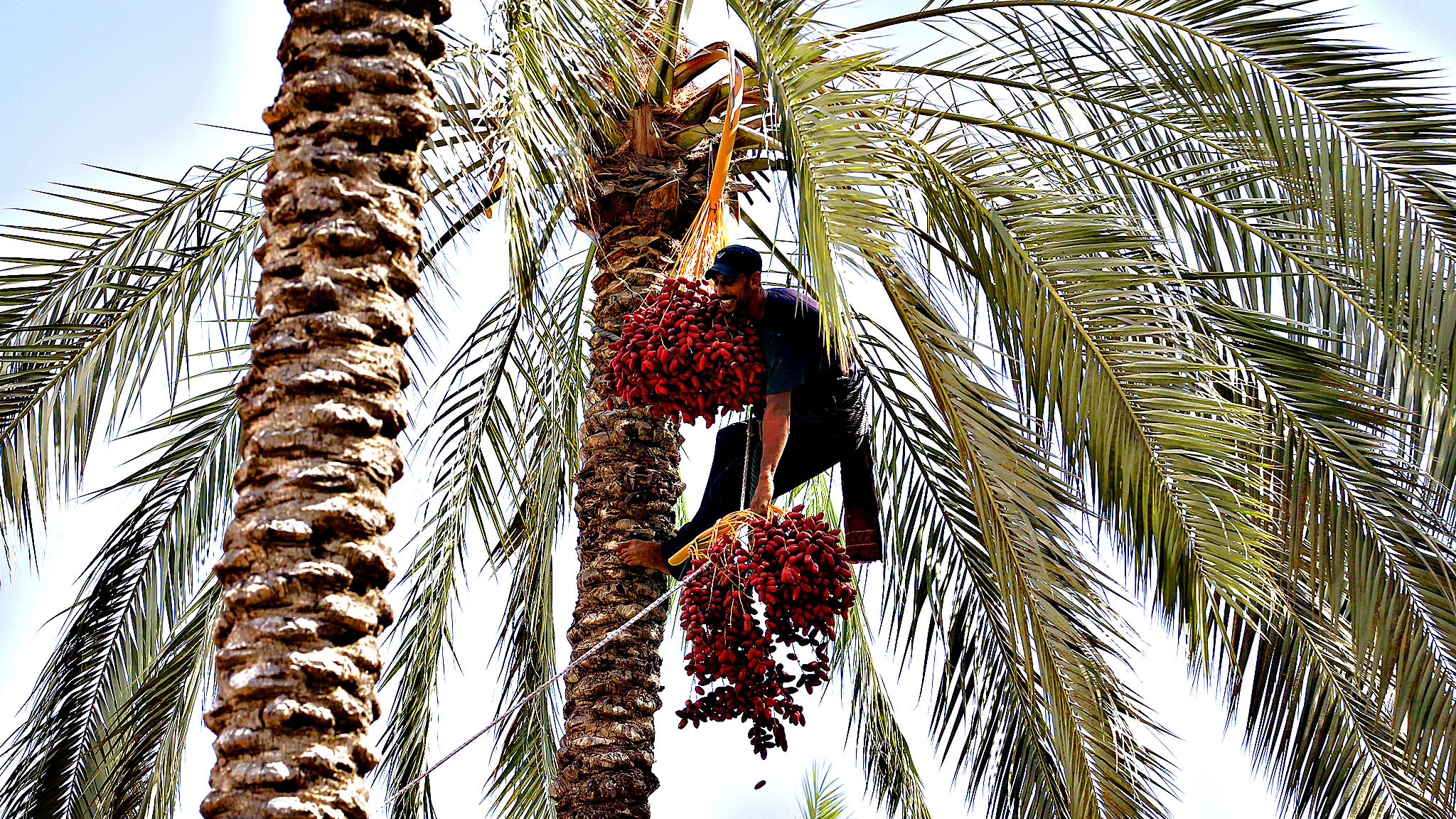 A Palestinian farmer harvests dates from a date palm tree in Khan Yunis, in the southern Gaza Strip
