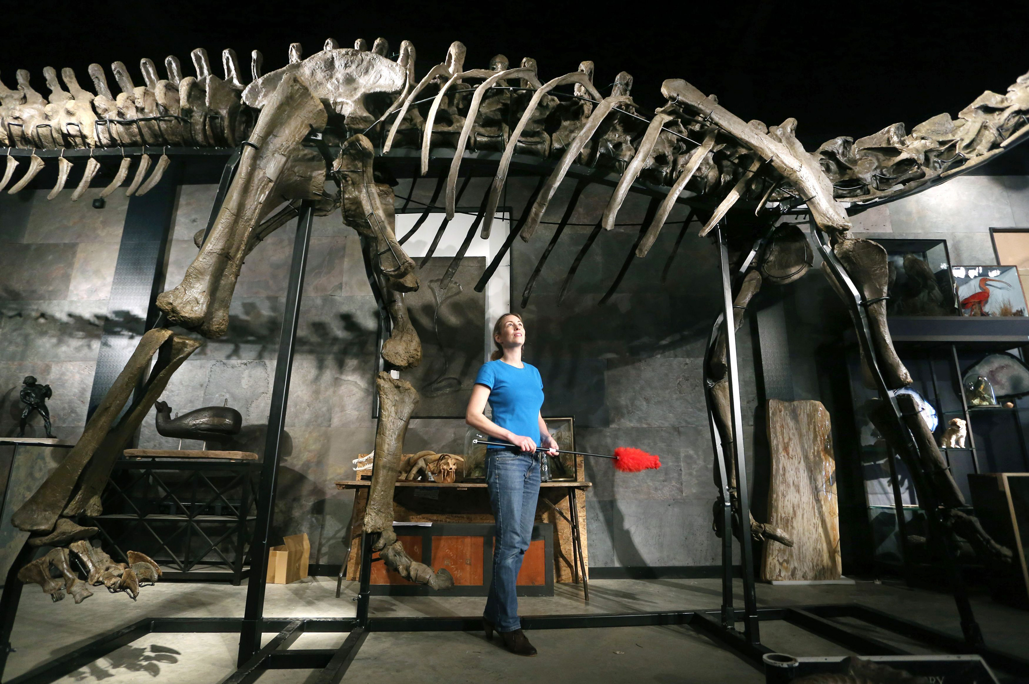 Dinosaur skeleton set for auction...Lindsay Hoadley of Summers Place Auctions in Billingshurst, West Sussex, tends to 17 metre long specimen of a long-necked Diplodocus Longus which will be auctioned next month and according to experts will be the first sale in the UK of a large dinosaur skeleton and is exptected to fetch up to £600,000. PRESS ASSOCIATION Photo. Picture date: Wednesday October 16, 2013. See PA story SALE Dinosaur. Photo credit should read: Gareth Fuller/PA Wire