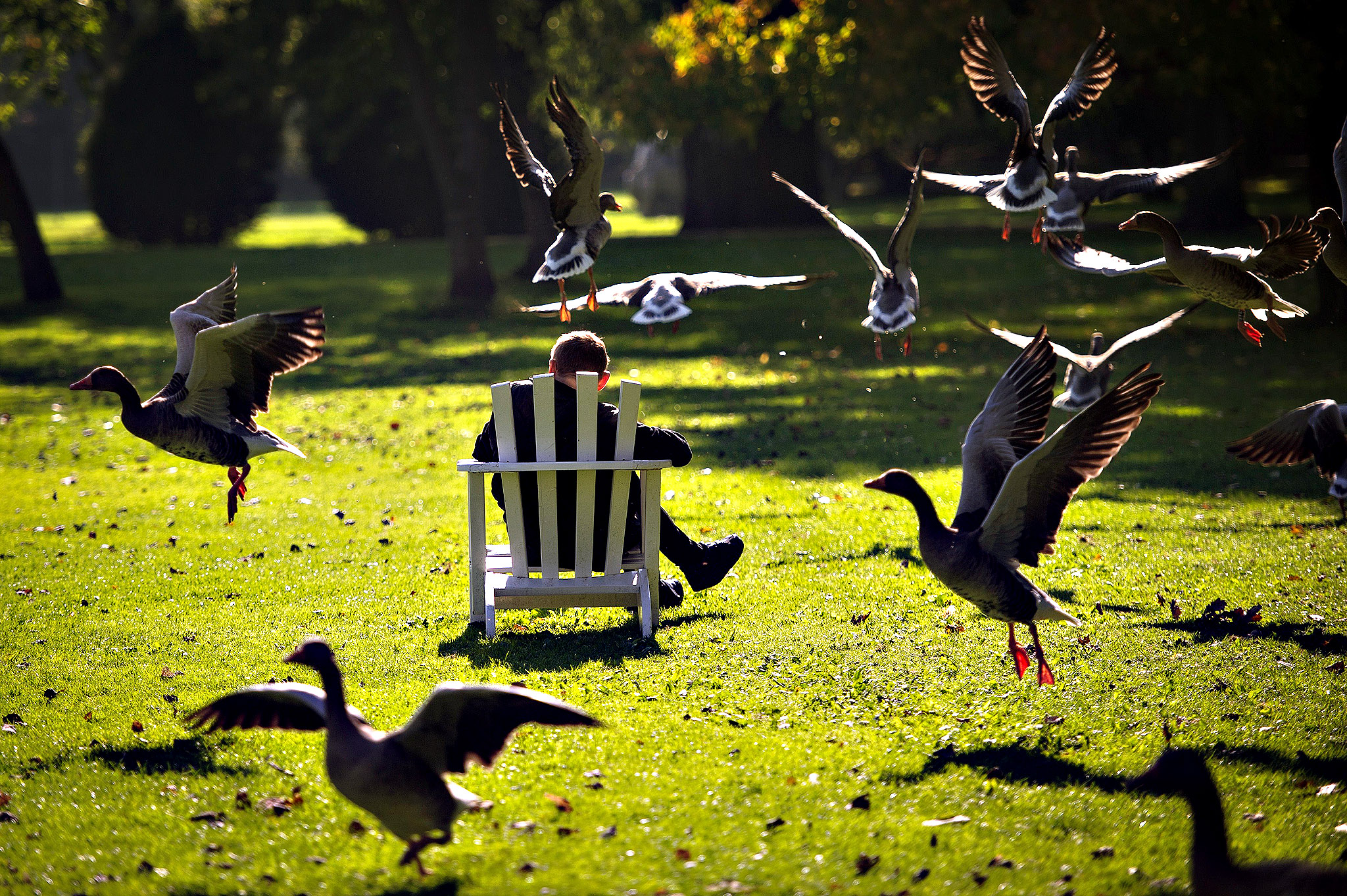 Gray goose take off as a person sits on October 14, 2013 in Hamburg.