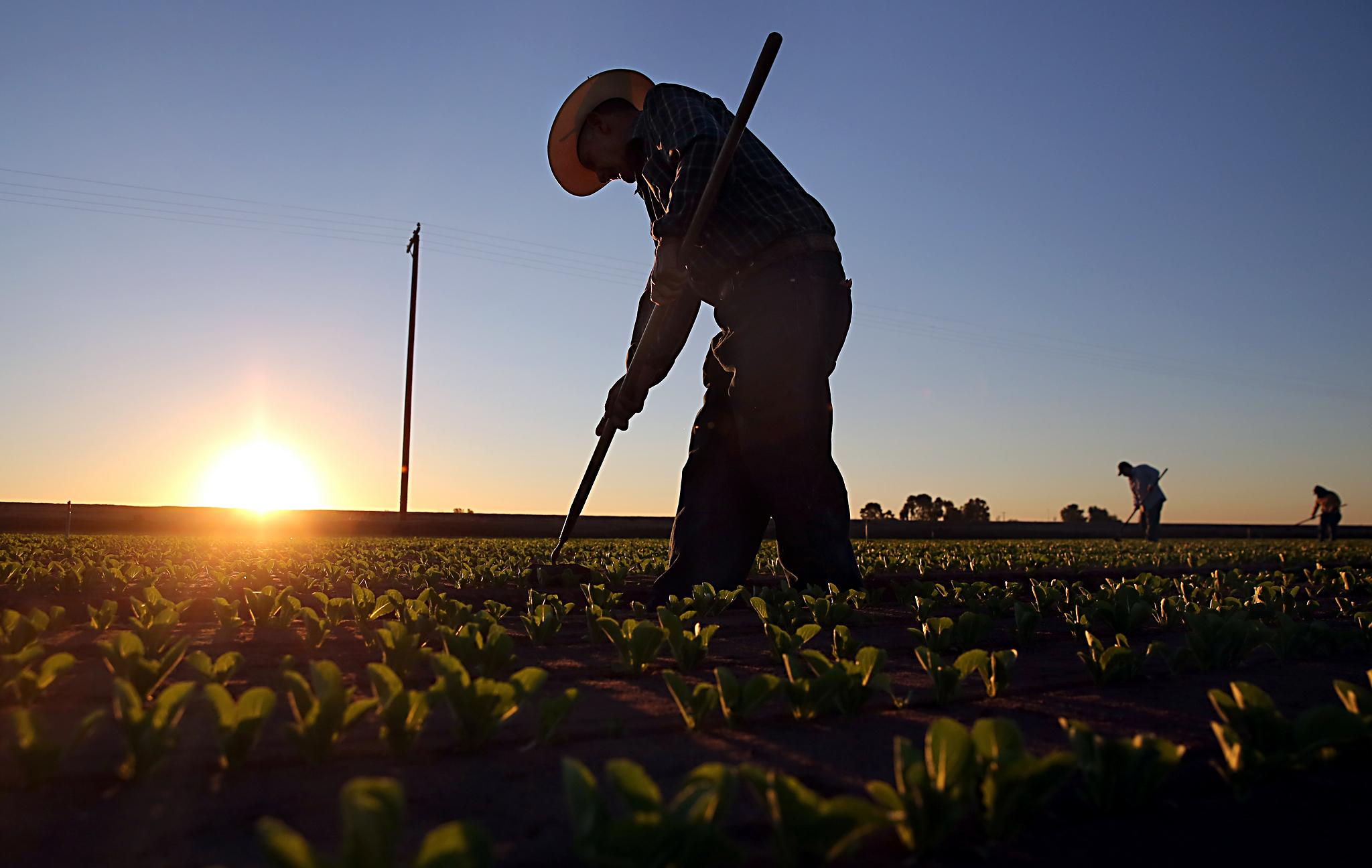 Mexican agricultural workers cultivate romaine lettuce on a farm in Holtville, California, USA. Thousands of Mexican workers cross the border legally each night from Mexicali, Mexico into Calexico, California, where they pick up work as agricultural day labourers at rates of pay considered too low by local US residents.