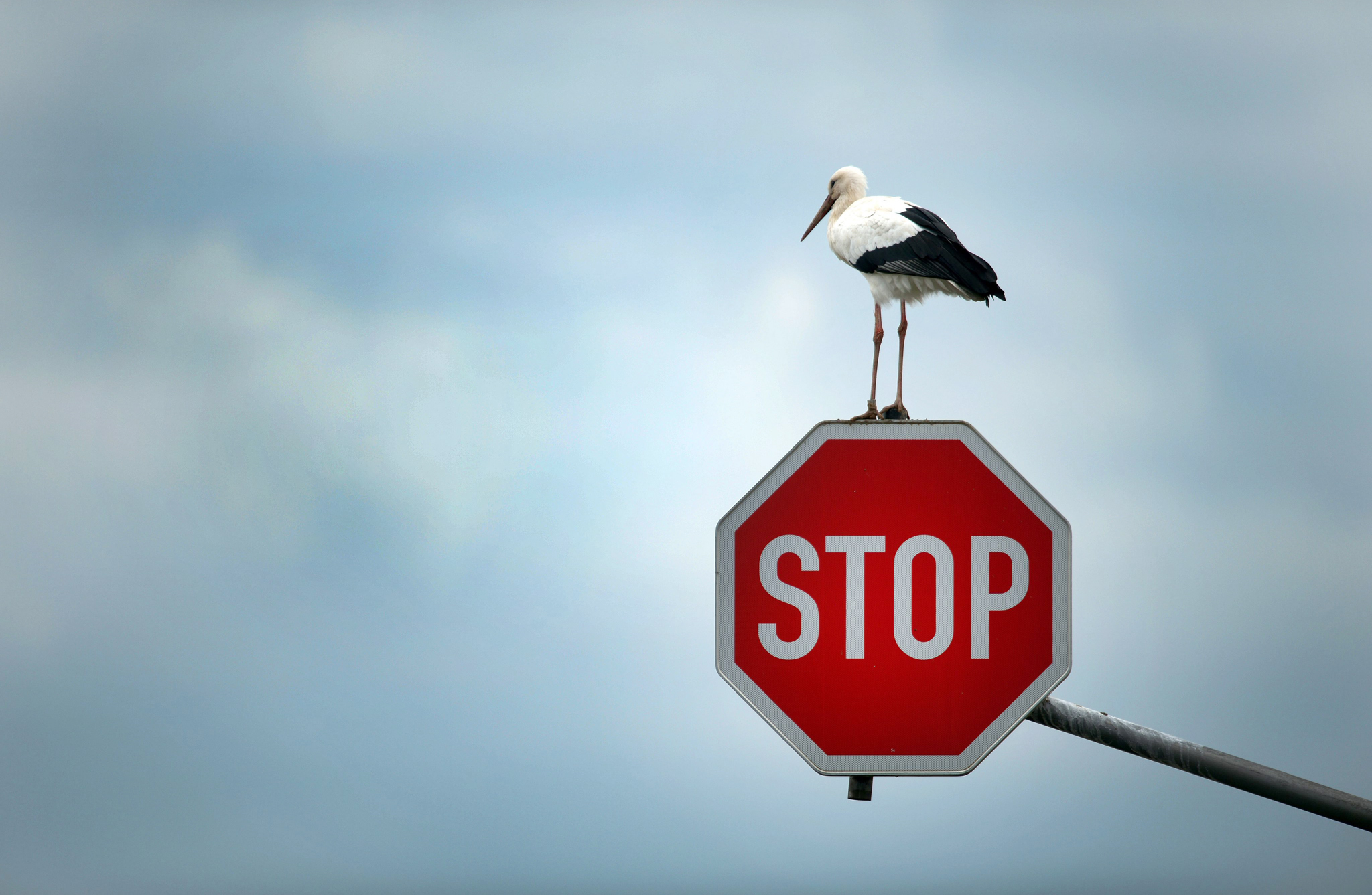White Stork on stop sign...epa03910744 A stork perches on a stop sign near Immerath, Germany, 15 October 2013, before continuing his journey to search for his favourite food targets - mice, frogs and other small animals.  EPA/FEDERICO GAMBARINI