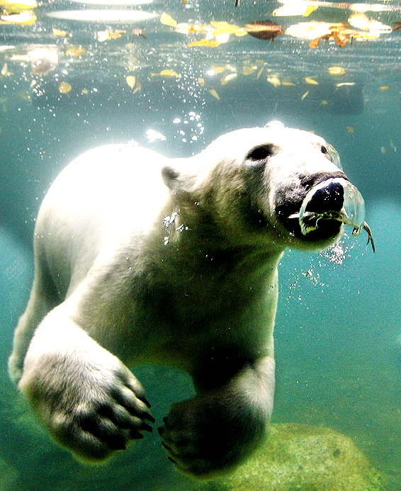 Luka, almost two-year-old male polar bear, swims in his new home at the zoo in Wuppertal, Germany. He was born in the Netherlands and is meant to be the play partner for female polar bear Anori who is the same age.