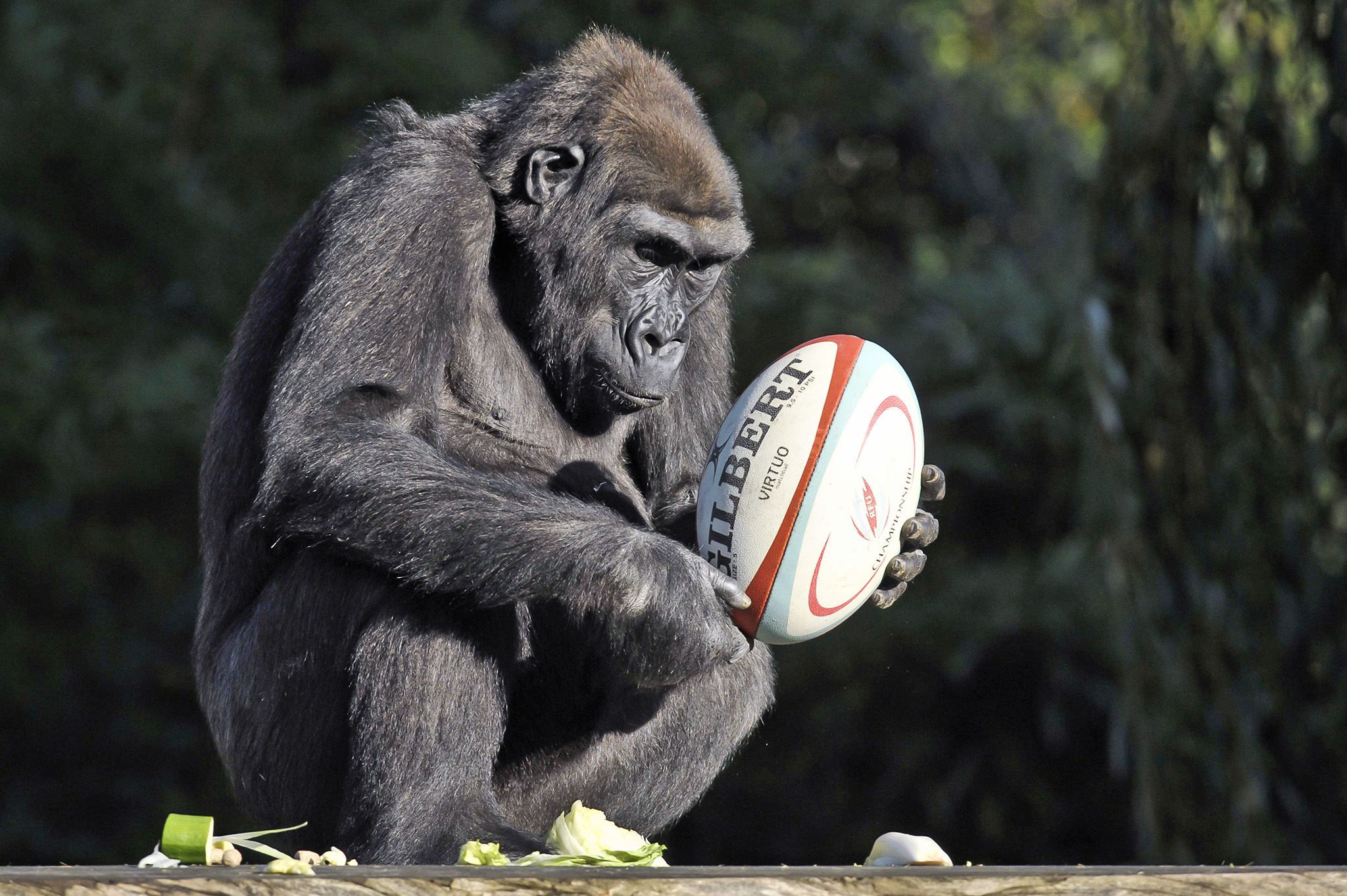 Gorillas with rugby balls