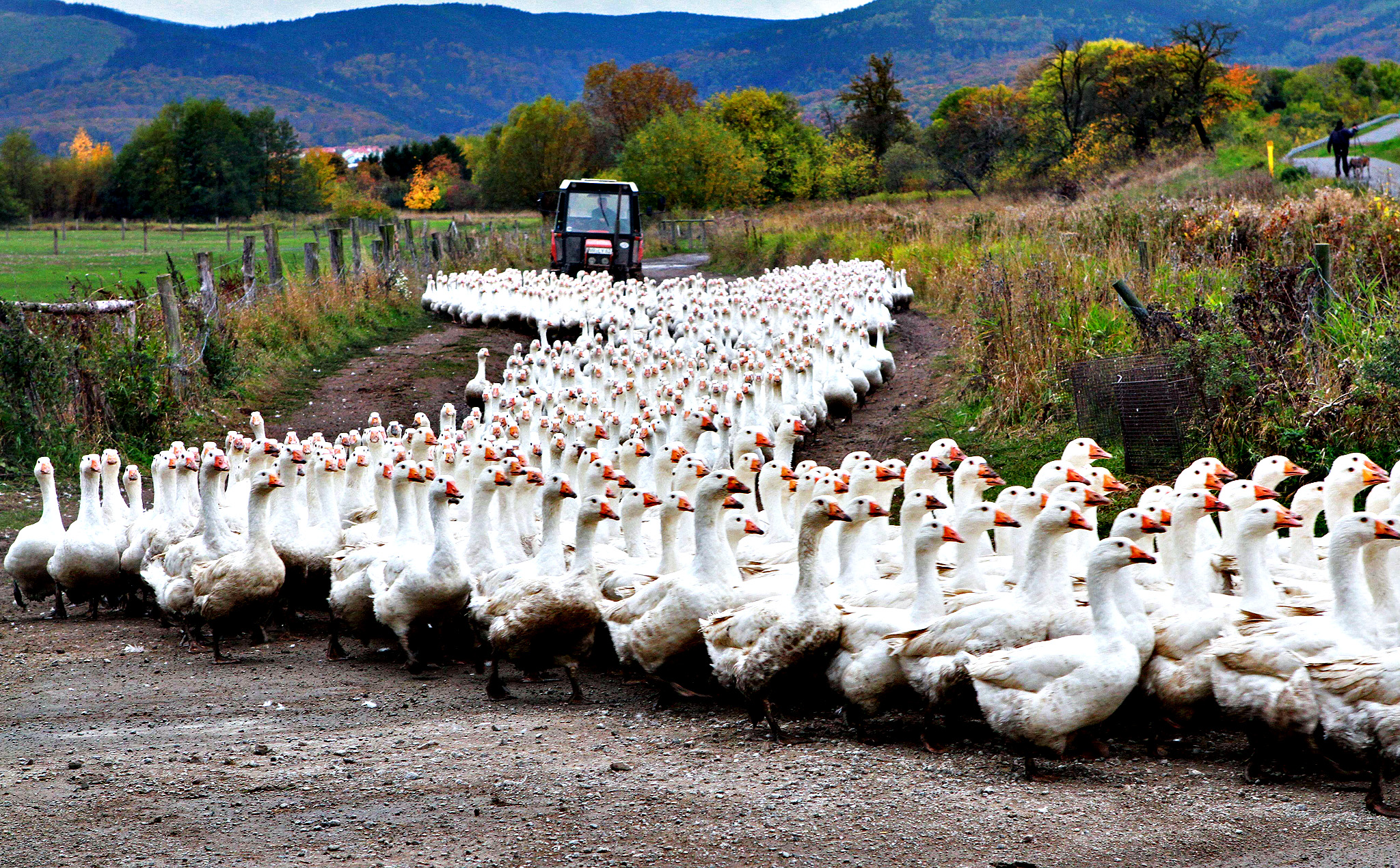 Geese of the Landi GmbH poultry farm are driven to their barn on October 21, 2013 in Veckenstedt, central Germany. The company brings up around 8,000 geese per year. Roast goose is a traditional dinner in Germany at Christmas and Martinmas.