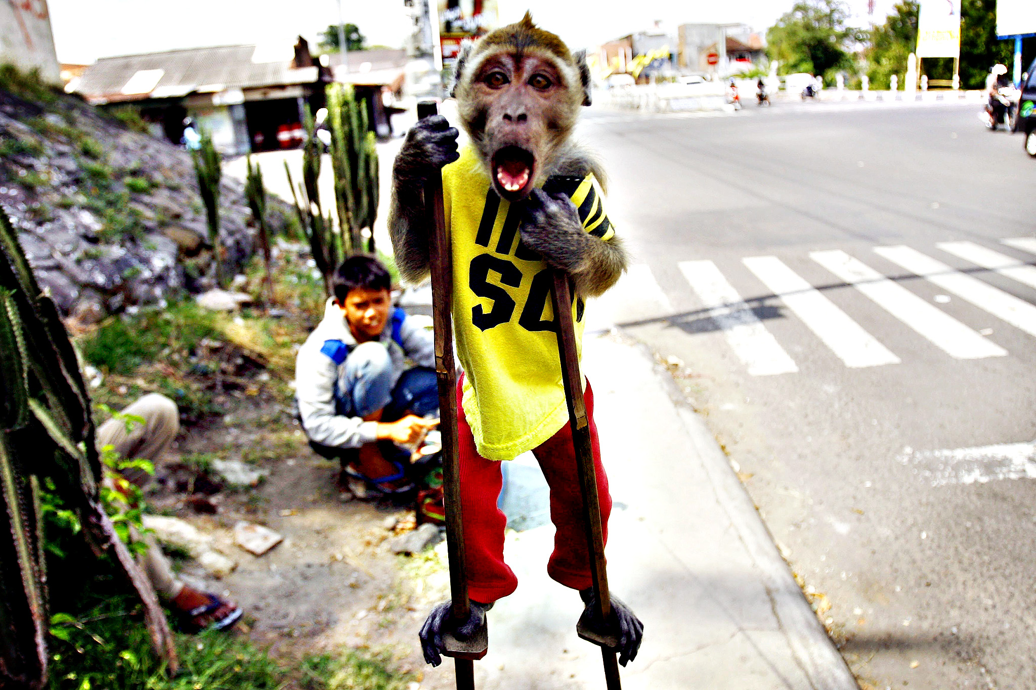 A street monkey performs on a sidewalk in Solo, Central Java, Indonesia on Monday. Jakarta Governor Joko Widodo is continued with the plan to stop masked monkey performances, locally known as 'topeng monyet', by year 2014 to improve public order and preventing illness carried by monkeys. The city's administration planned to buy the monkeys used in street performances and keeping them in a zoo.