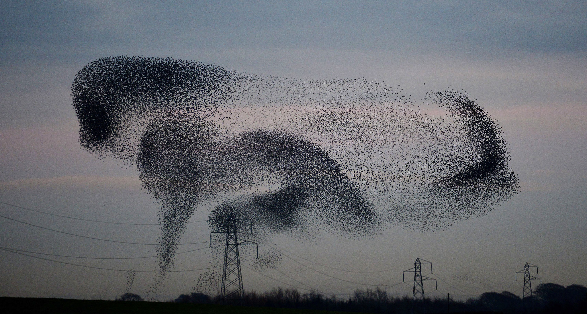 Starlings in the Scottish Borders