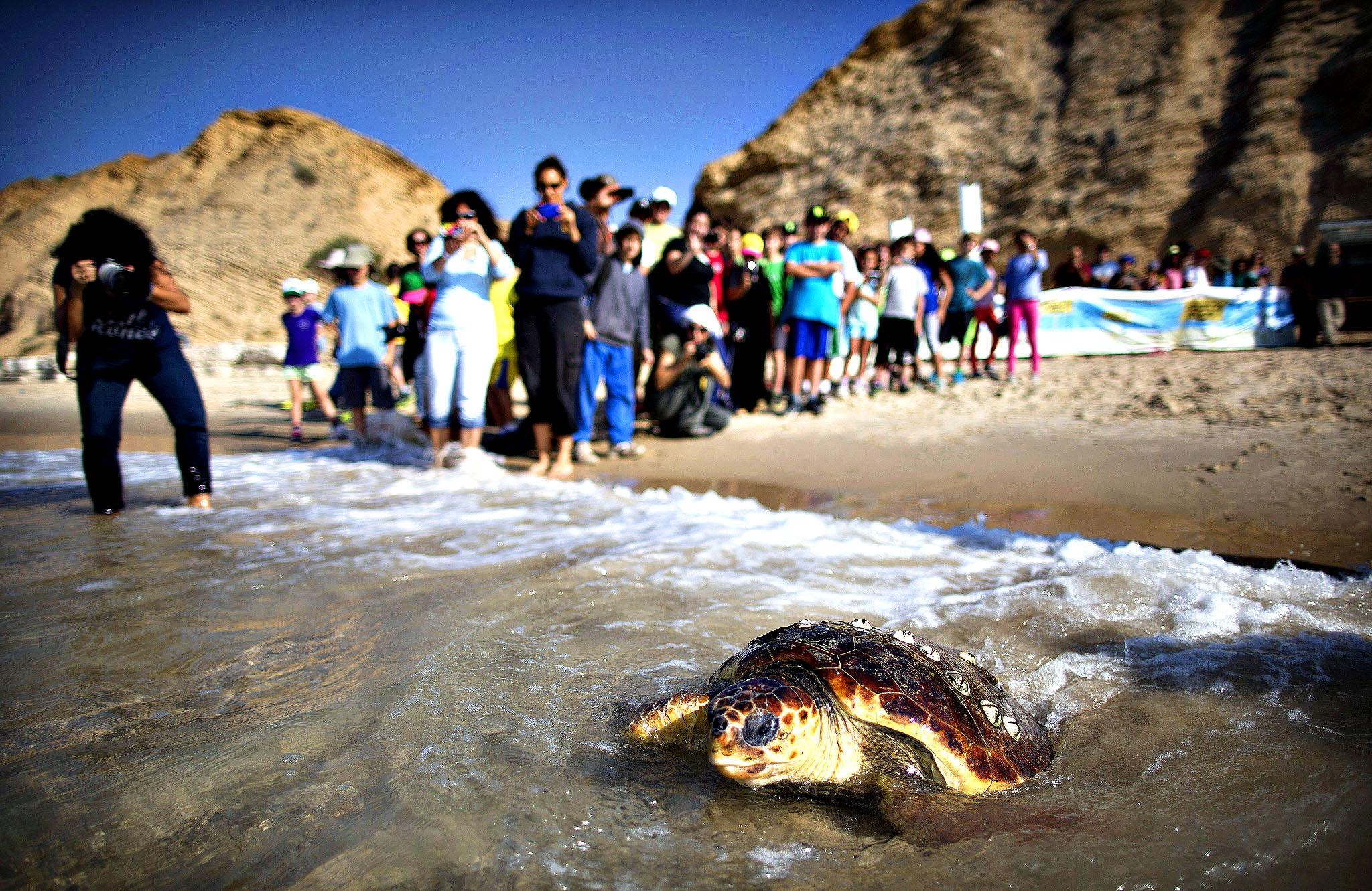 School children watch as volunteers of the Israeli sea turtle rescue center free a Loggerhead sea turtle back to the Mediterranean sea on November 21, 2013 in Gaash, Israel. The turtle is one of two wounded Loggerhead sea turtles that were rehabilitated at the rescue center and freed today. From transplanting turtle nests during the nesting season to protected beaches, through the rescue and treatment of wounded turtles brought in by fishermen or washed up on Israel's shores, to the development of a long-range breeding program for the threatened Green turtles, the volunteers and staff of the Israeli Nature and Parks Authority are doing their best to protect the creatures. The numbers have dwindled in the Mediterranean to an estimated 450 nesting female Green turtles and about 2500 nesting female Loggerheads. Far removed from man-made obstacles and protected from their natural predators such as crabs, foxes and birds, the hatchlings make their race to the sea with the hope that more than 20 years later they will return to the same beach to ensure the species survival.