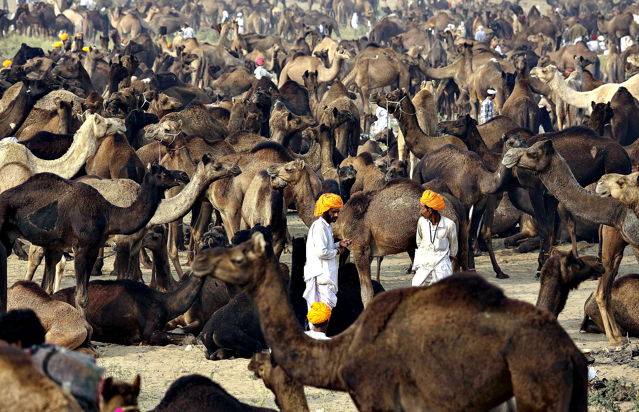 Rajasthani camel vendors and buyers interacts during the Pushkar Fair or Pushkar ka Mela, one of the world's largest cattle fairs, in Pushkar, Rajasthan state, India, 11 November 2013. Around 50,000 camels are sold, decorated, shaved and raced at the event.