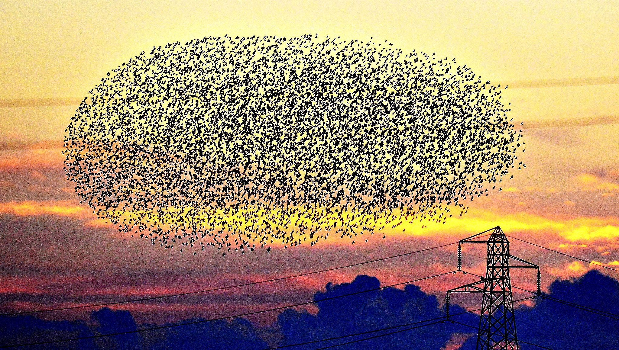 A murmuration of starlings fly close to power lines at sunset near Gretna on the Scottish borders.