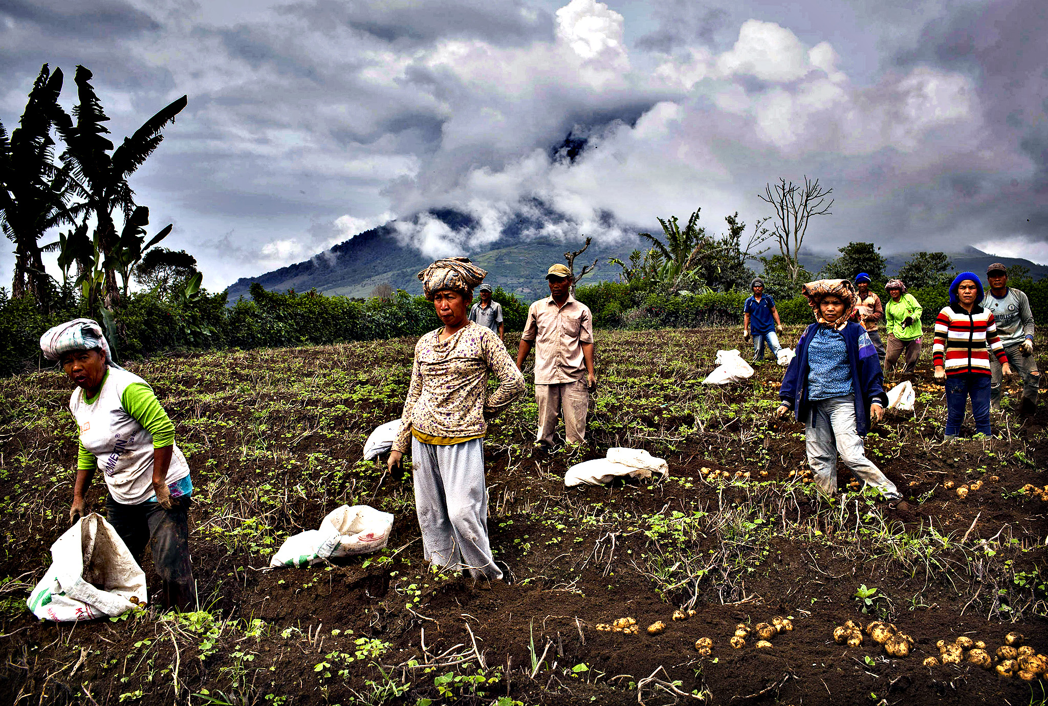 Villagers harvest potatoes at their field, located just less than four kilometers from mount Sinabung in Karo district on November 14, 2013 in Medan, Sumatra, Indonesia. Up to 4,300 residents have been evacuated from five villages in North Sumatra due to the volcanic eruptions of Mount Sinabung. The volcano has been erupting for several days, spewing ash and lava 2.5 miles into the sky.