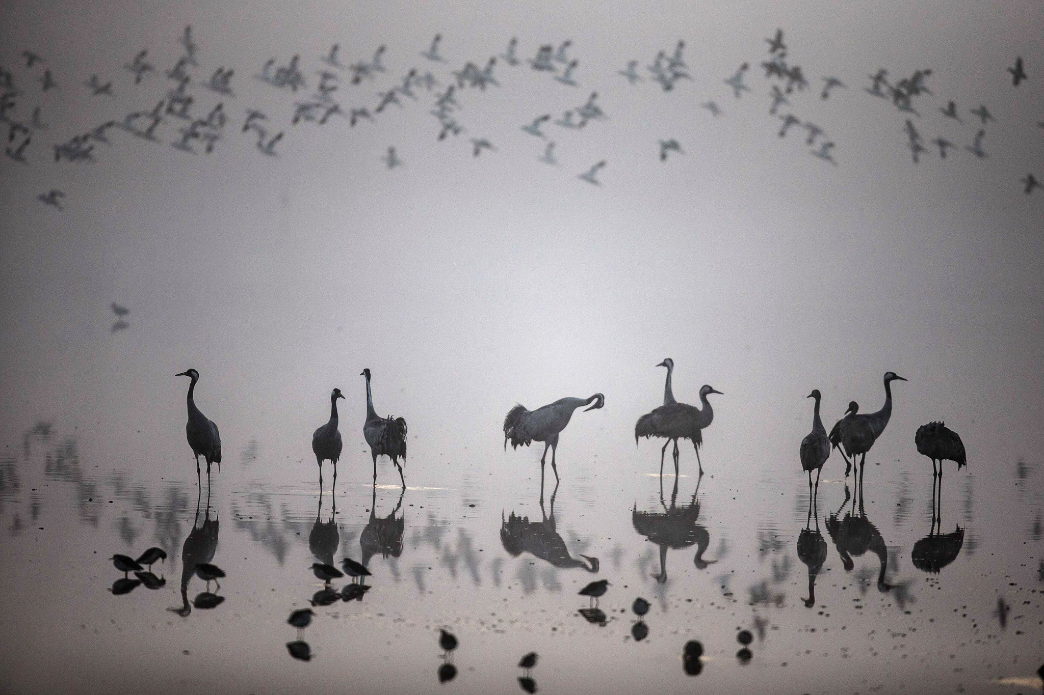 A flock of migrating cranes is seen at the Hula Lake Ornithology and Nature Park in northern Israel...A flock of migrating cranes is seen at the Hula Lake Ornithology and Nature Park in northern Israel December 20, 2013. The Hula Valley is a stopping point for hundreds of species of birds along their migration route between the northern and southern hemispheres.