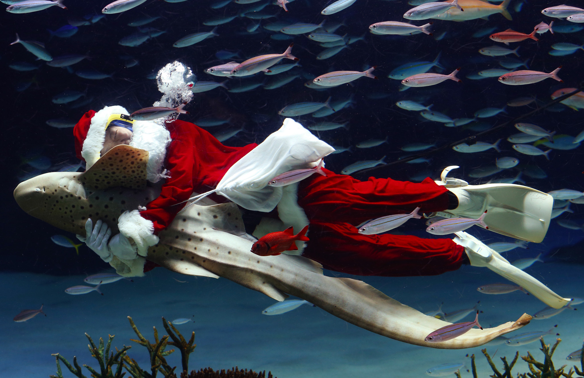 An aquarium staff member dressed in a Santa Claus costume embraces a Zebra shark as he swims with fish inside the Sunshine International Aquarium in Tokyo