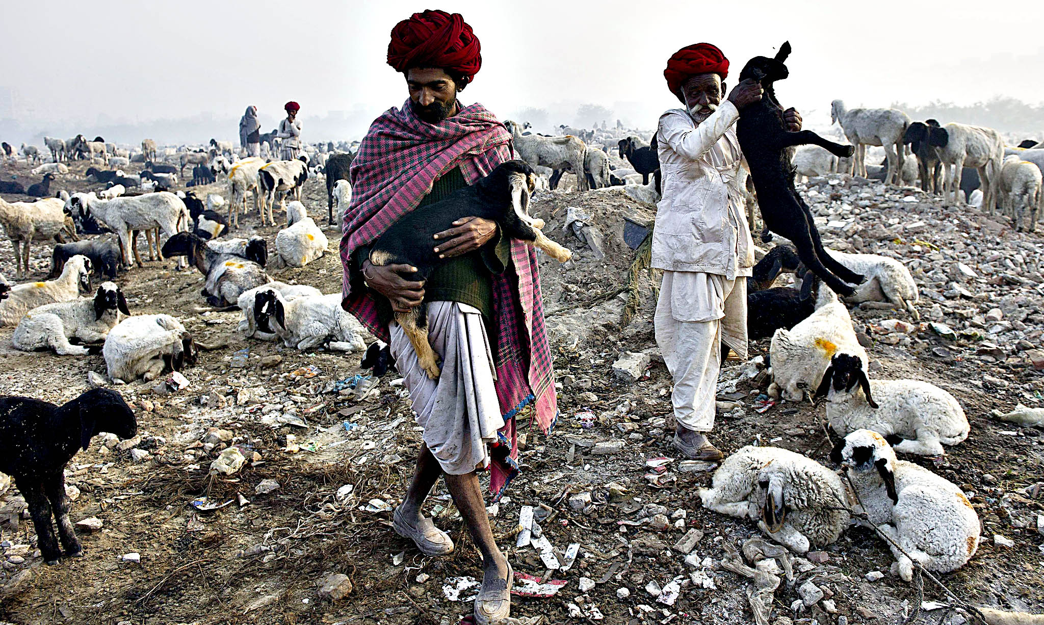 Nomadic shepherds from Rajasthan herd their sheep at a camp on the outskirts of New Delhi on December 9, 2013. These shepherds still cling on to pastoral nomadic life, trekking long distances in search of pasture for their sheep.