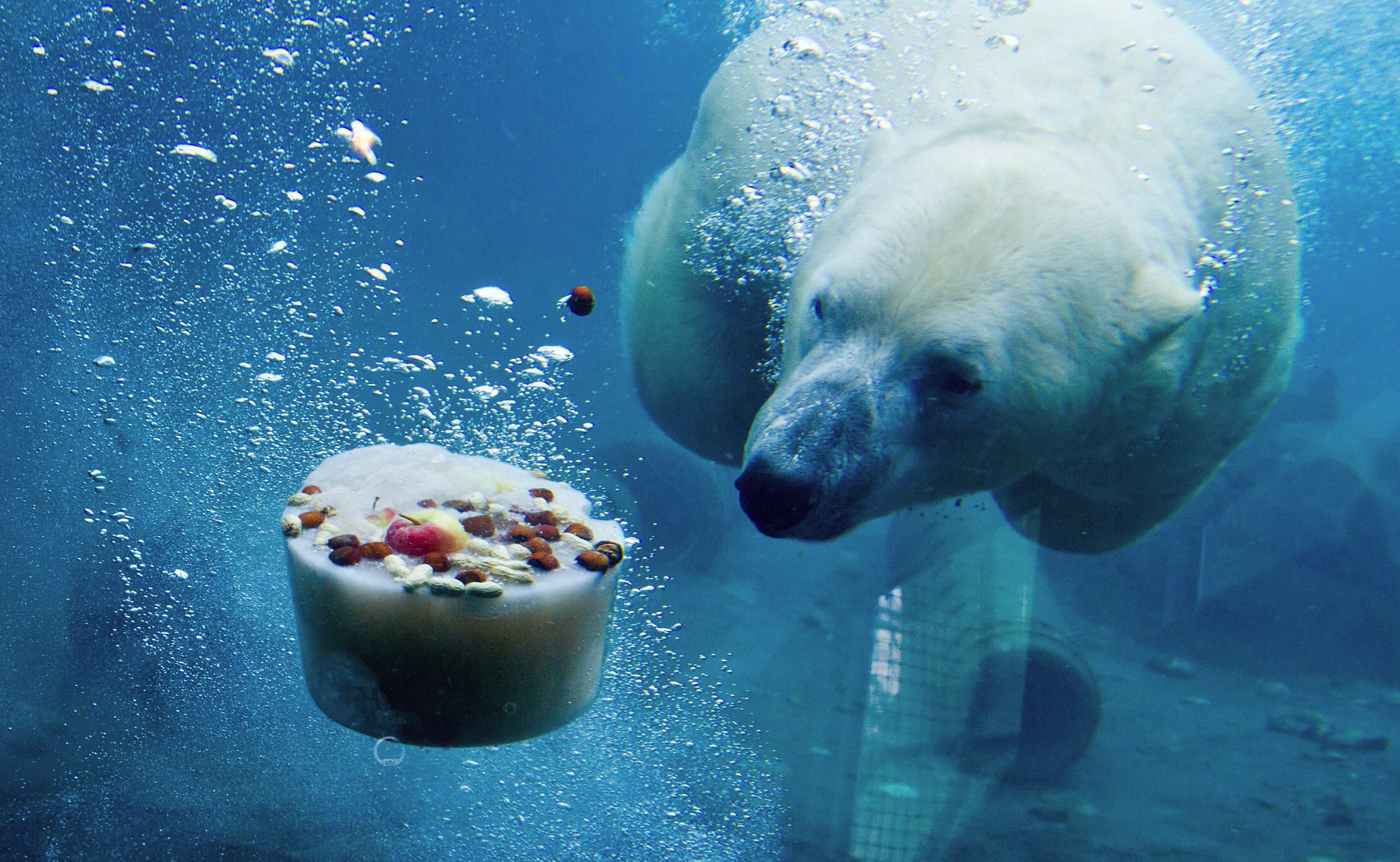 A polar bear named Nanuq is seen through the glass wall of the basin of his enclosure diving for an ice cake made of frozen fish, meat and fruit in the zoo in Hanover, Germany.