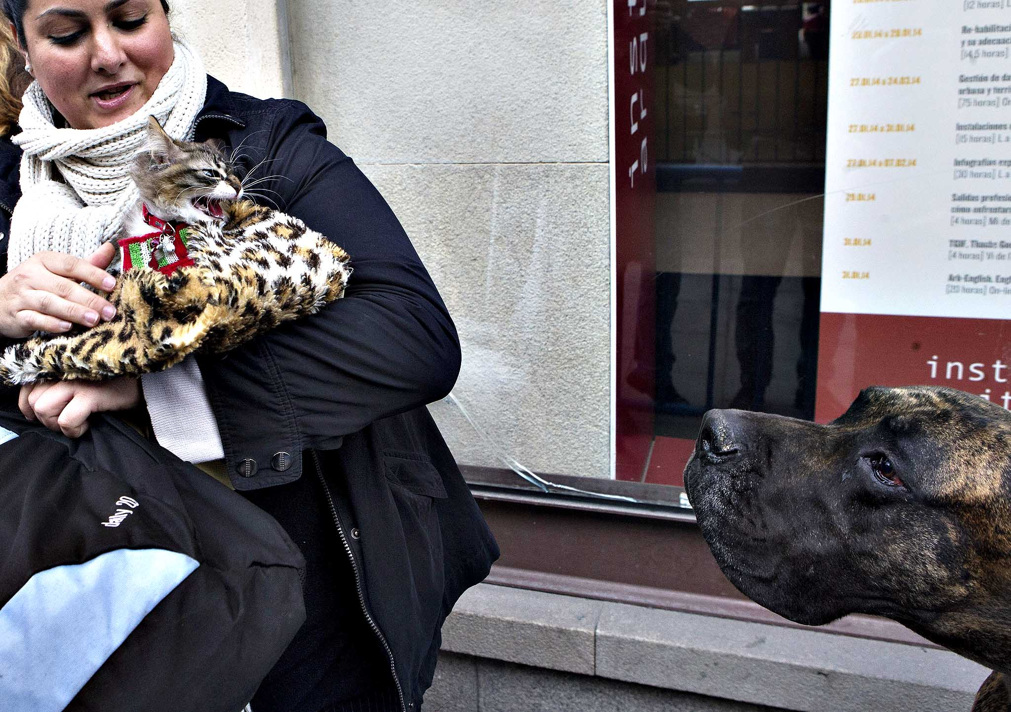 A cat hisses at a Great Dane dog in the queue while waiting to be anointed outside the Saint Anton church in Madrid, Friday, Jan. 17, 2014. It is the animal's patron saint day in which thousands of people all over Spain bring their pets to churches to be blessed.