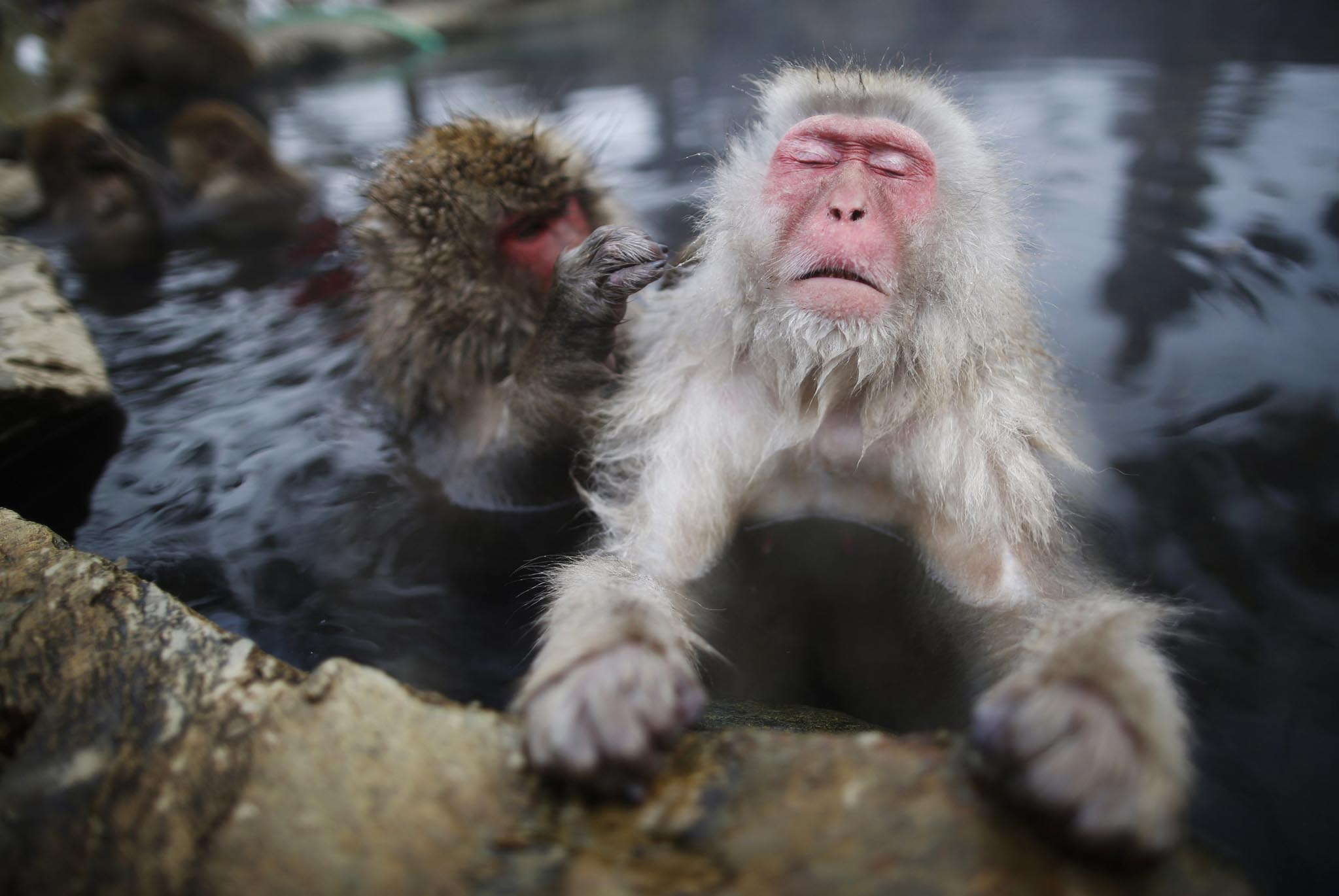 Japanese Macaques groom each other in a hot spring at a snow-covered valley in Yamanouchi town