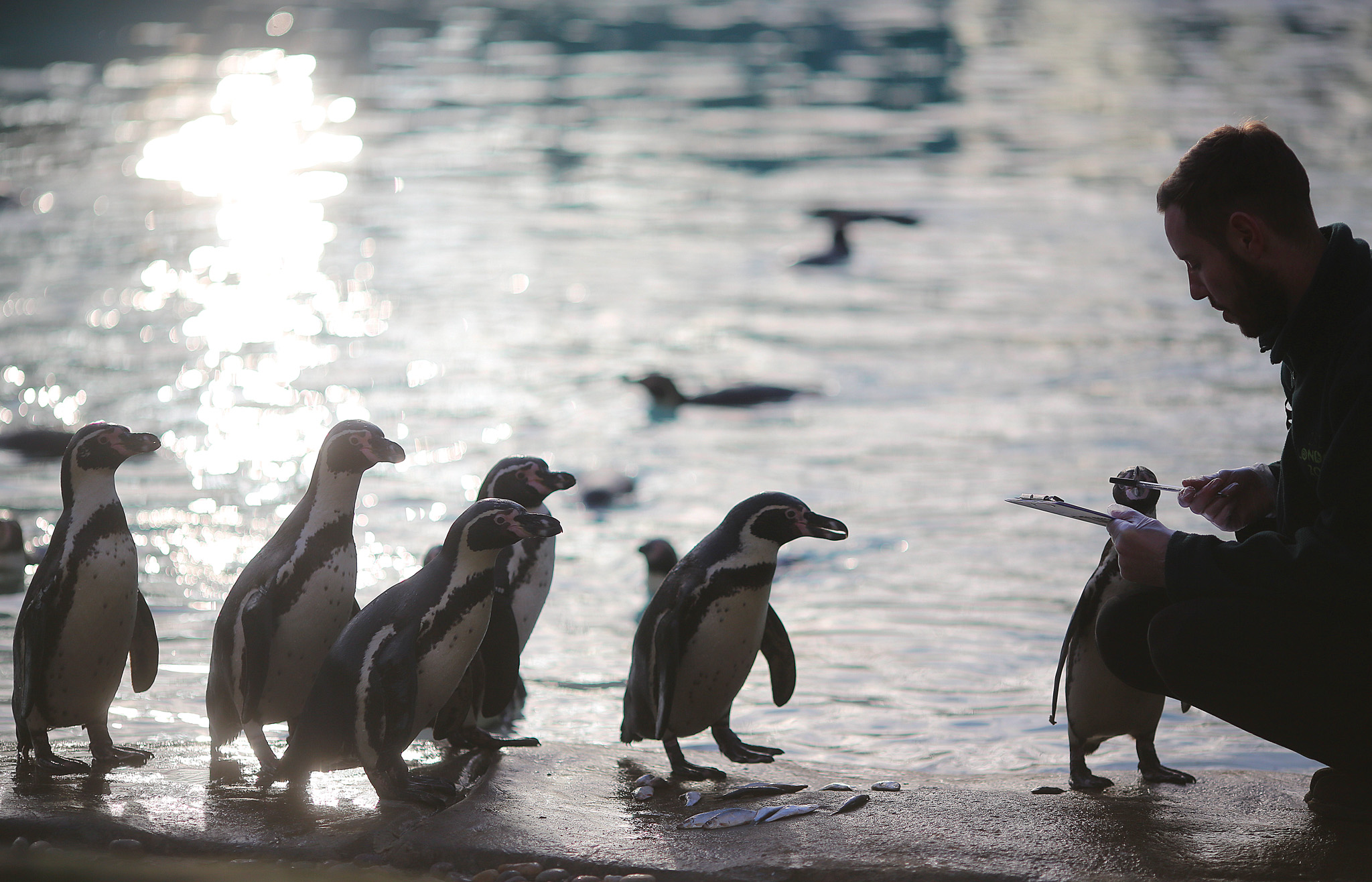 Zookeeper, Carl Ashworth, counts the number of penguins in his enclosure during London Zoo's annual stocktake.