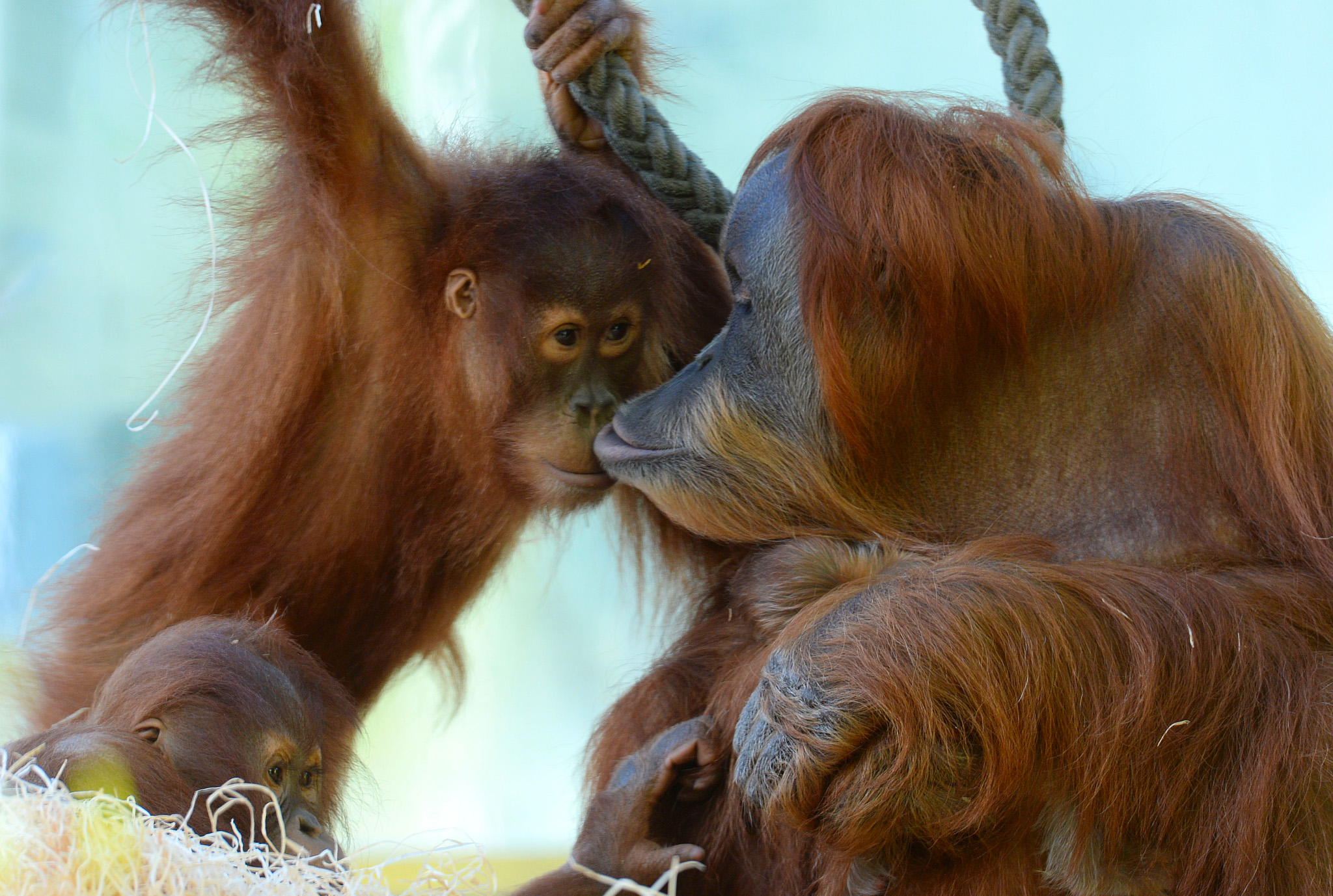 The Sumatra Orang-Utan Matra (R) holds h...The Sumatra Orang-Utan Matra (R) holds her one week old baby and smooches with her other daughter Jolie in the enclosure at the zoo Hellabrunn in Munich, southern Germany on February 7, 2014. The little Orang-Utan baby was born in the zoo on January 31, 2014 and hasn't been named yet.