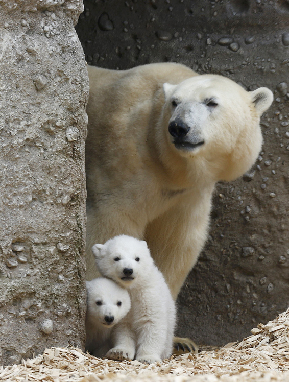 Twin polar bear cubs stand with their mother Giovanna in their enclosure at Tierpark Hellabrunn in Munich...Twin polar bear cubs stand with their mother Giovanna in their enclosure at Tierpark Hellabrunn in Munich, March 19, 2014.  The 14 week-old cubs, who made their first public appearance on Wednesday, have yet to be named.      REUTERS/Michael Dalder (GERMANY  - Tags: ANIMALS SOCIETY)