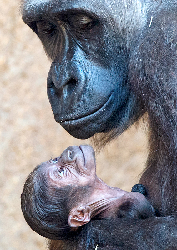 Gorilla mother Kumili arms her newborn at the zoo in Leipzig, central Germany, Thursday, March 20, 2014. The baby gorilla was born during the night between 10 and 11 March 2014 and its sex is still unknown. It's the second  gorilla baby born  within four month in this monkey group. (AP Photo/Jens Meyer)