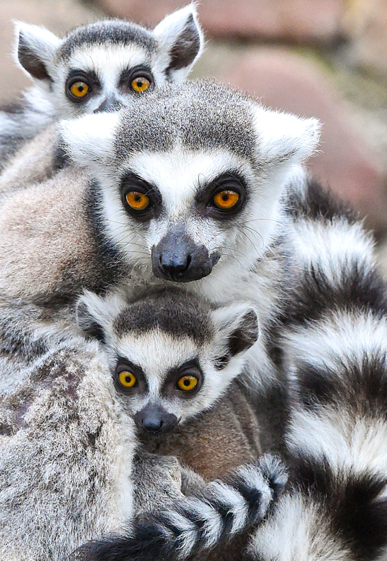 Lemur offspring at Eberswalder Zoo...epa04139812 A photo made available on 25 March 2014 shows a female ring-tailed lemur (Lemur catta) carrying her twin offspring at their enclosure at the zoo in Eberswalde, Germany, 24 March 2014. Several monkeys were reported to have given birth to their offspring at the zoo in the past weeks.