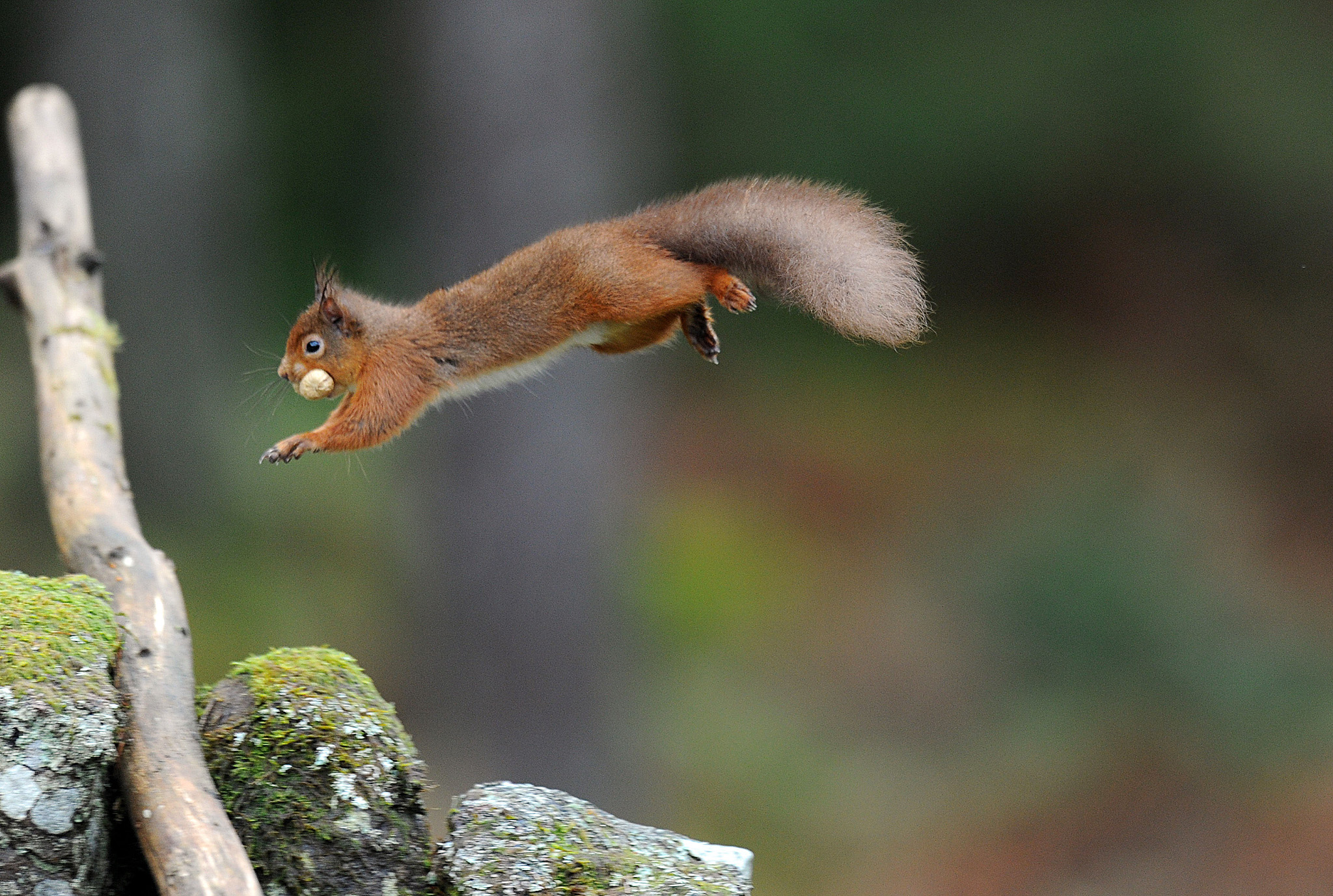 Spring weather Mar 7th...A Red Squirrel, with a nut in it's mouth, jumps across a wall in Kielder Forest, Northumberland. PRESS ASSOCIATION Photo. Picture date: Friday March 7, 2014. Kielder Forest is England's largest forest at 250 square miles and is home to the largest remaining Red Squirrel population in England. Photo credit should read: Owen Humphreys/PA Wire