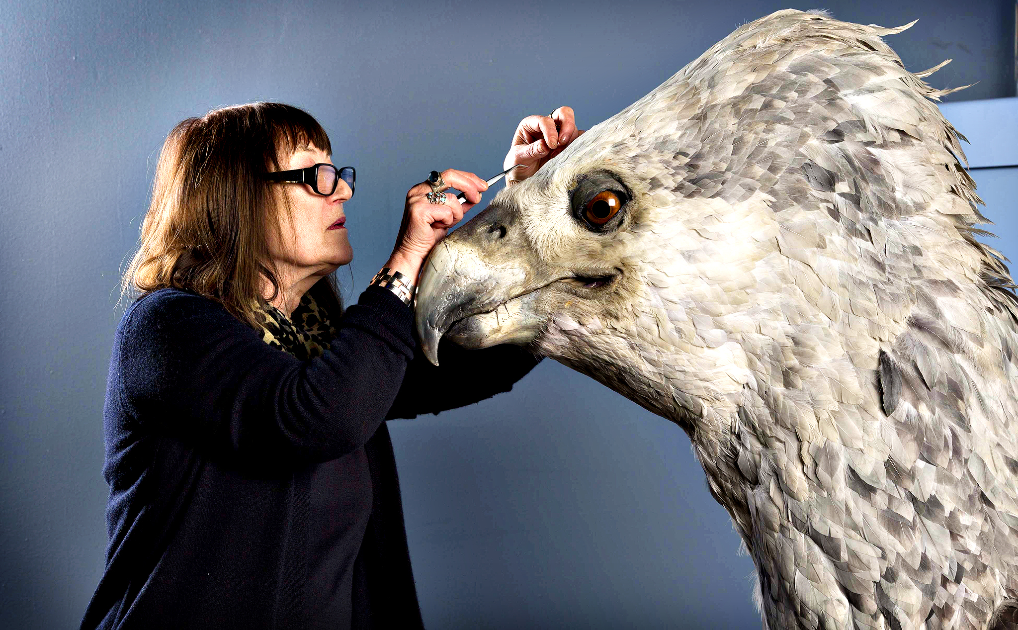 Buckbeak, a Hippogriff that lived with Rubeus Hagrid in the Harry Potter series, has his feathers preened and replenished by featherologist Val Jones, as he will feature in the the Feathers and Flight event at Warner Bros. Studio Tour London.This is the first make-over Buckbeak has received since the hugely popular Harry Potter film series was made. His intricate coat is created from thousands of individually airbrushed chicken and goose feathers that Val will carefully clean and replenish in time for the start of Feathers and Flight. Val will lead an expert team to demonstrate the techniques that made winged wonders such as Buckbeak and Fawkes the Phoenix a reality on screen.