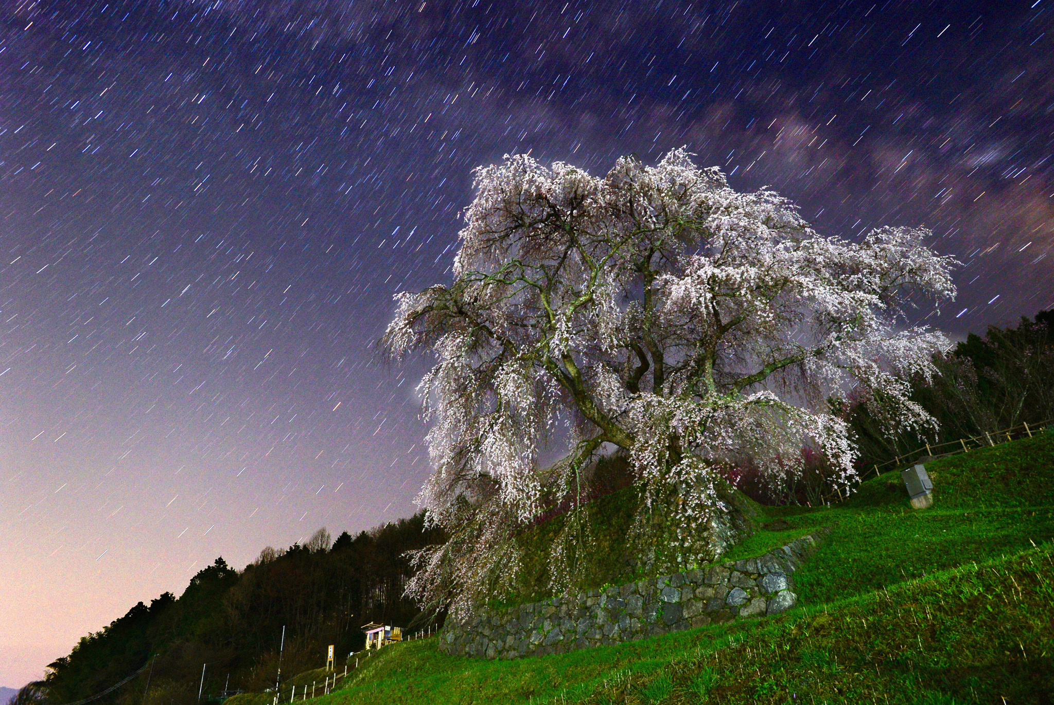 People Enjoy Cherry Blossoms In Japan...UDA, JAPAN - APRIL 08:  (CHINA OUT, SOUTH KOREA OUT) In this long exposure image, the 'Matabe-e zakura', cherry blossom which is believed to be more than 300 years old, is in full bloom on Aprul 8, 2014 in Uda, Nara, Japan.  (Photo by The Asahi Shimbun via Getty Images)
