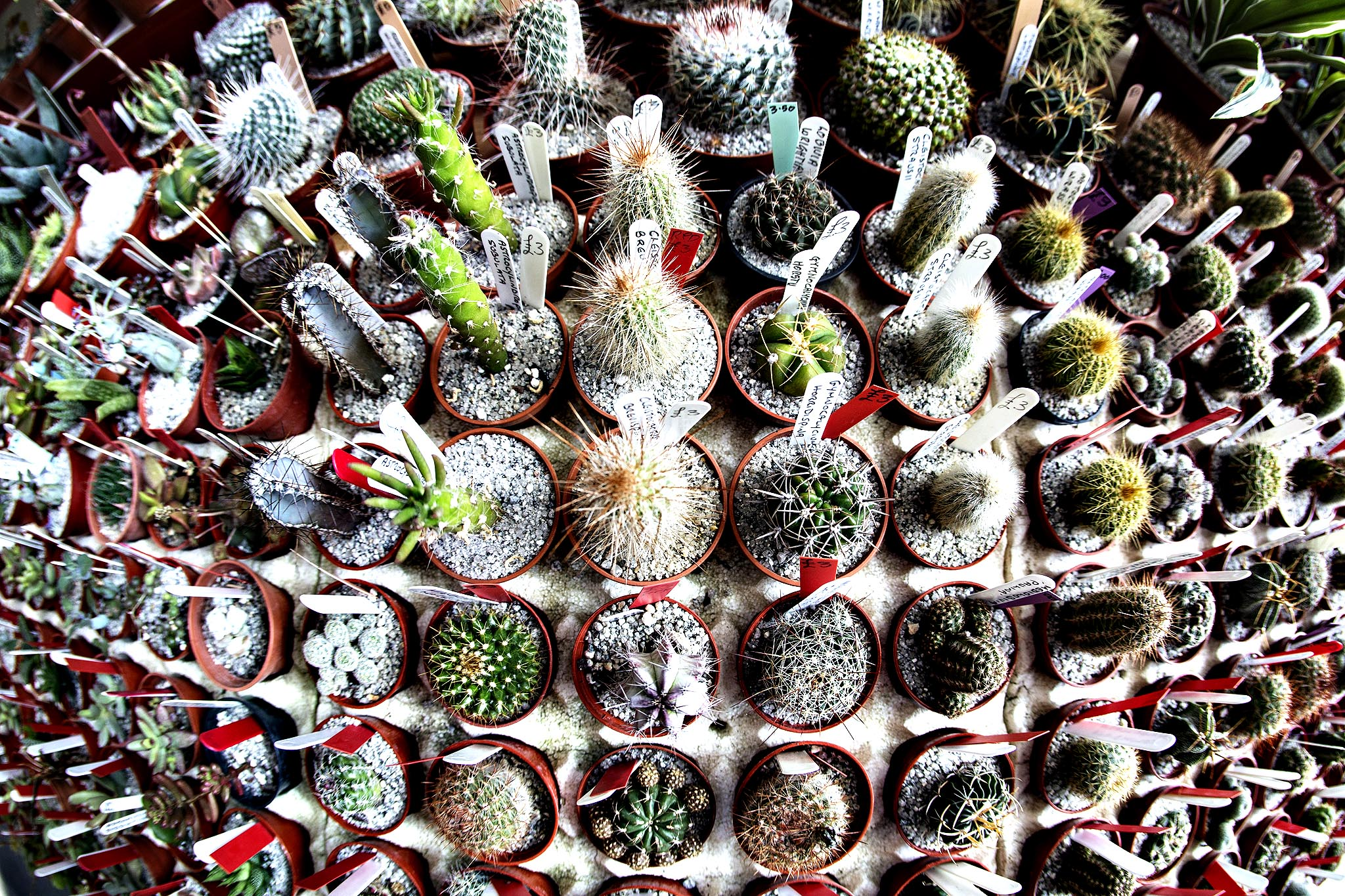 Cacti on display in the Royal Horticultural Society's 'Great London Plant Fair' in the RHS Lawrence and Lindley Halls on April 1, 2014 in London, England. The show, which aims to celebrate the vibrancy of spring, includes the 'RHS Early Daffodil Competition' and runs until April 4, 2014.