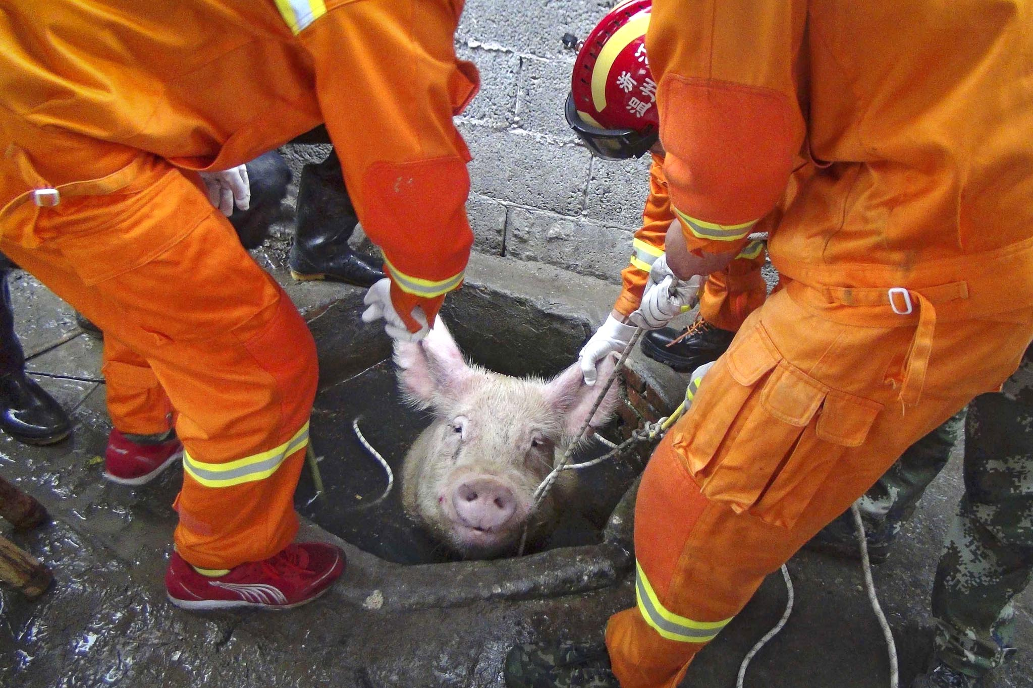 Firefighters pull a pig as they try to rescue it from a well at a pig farm in Zhejiang province