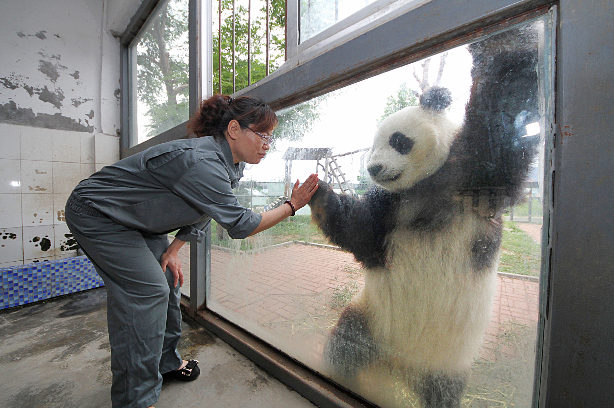 Giant Panda's At Yantai Nanshan Park Zoo...YANTAI, CHINA - JUNE 09: (CHINA OUT) Giant panda 'Huaao' shakes hands with a breeder across the glass at Yantai Nanshan Park Zoo on June 9, 2014 in Yantai, Shandong Province of China. Giant pandas Huaao and Qingfeng have finished their 3-year sojourn in Yantai and will be sent back to Ya'an Bifeng Gorge Breeding Base of Sichuan on Tuesday.
