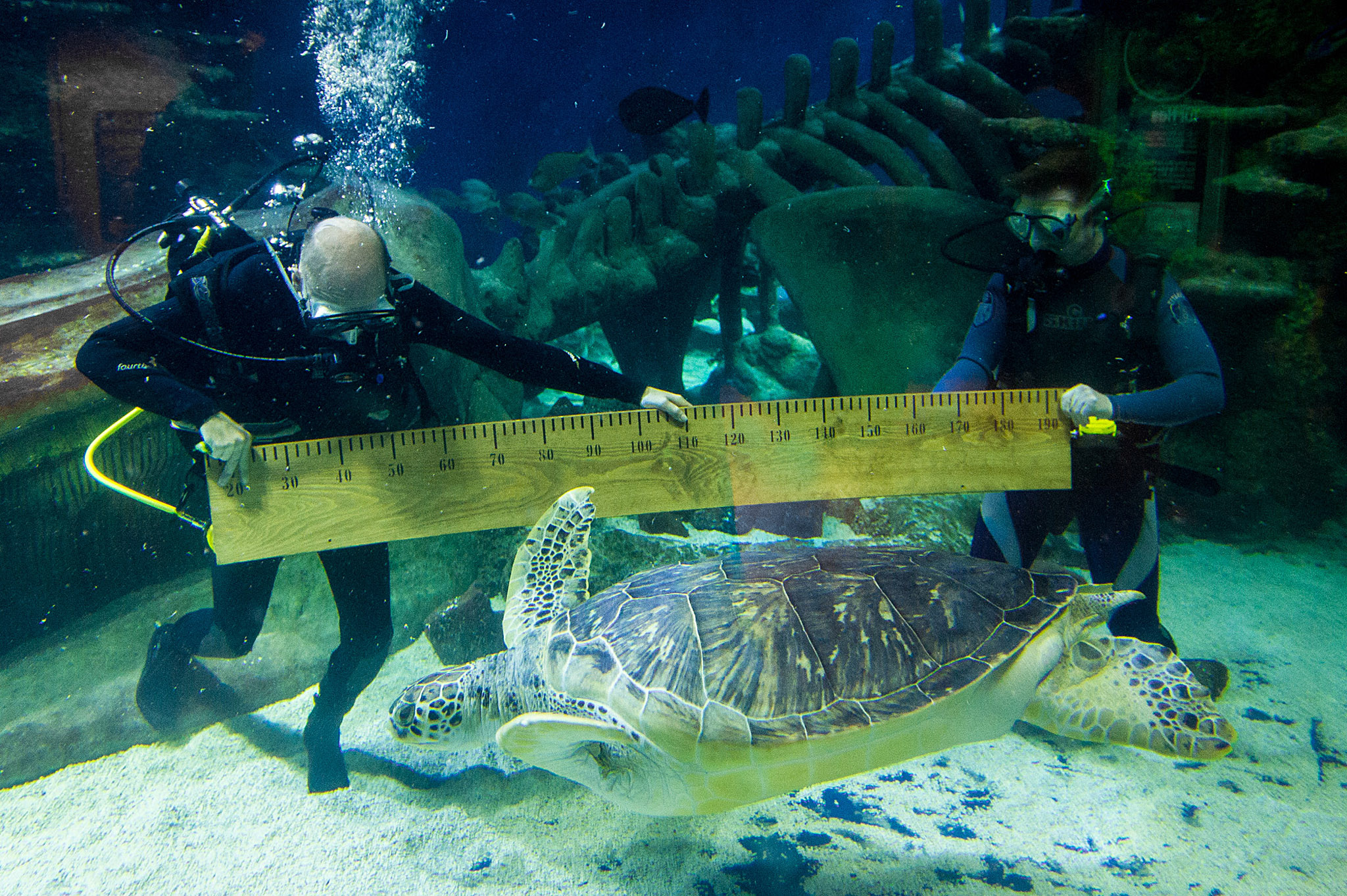 Sealife London Aquarium's Annual Health Check...Wednesday 30th July 2014 - The Sealife London Aquarium have conducted their week long annual health check of all 6,600 animals in their care.  This picture: Aquarists measure the 1.2m long shell of Phoenix, one of the enormous 130kg rare green sea turtles For further information or a full release please contact Amy Williams at freerange communications on amy@freerange.eu or 020 7402 9966 PR Handout - free to use in conjunction with this story only Copyright: Mikael Buck / Sealife London Aquarium 07828201042 / mikaelbuck@gmail.com