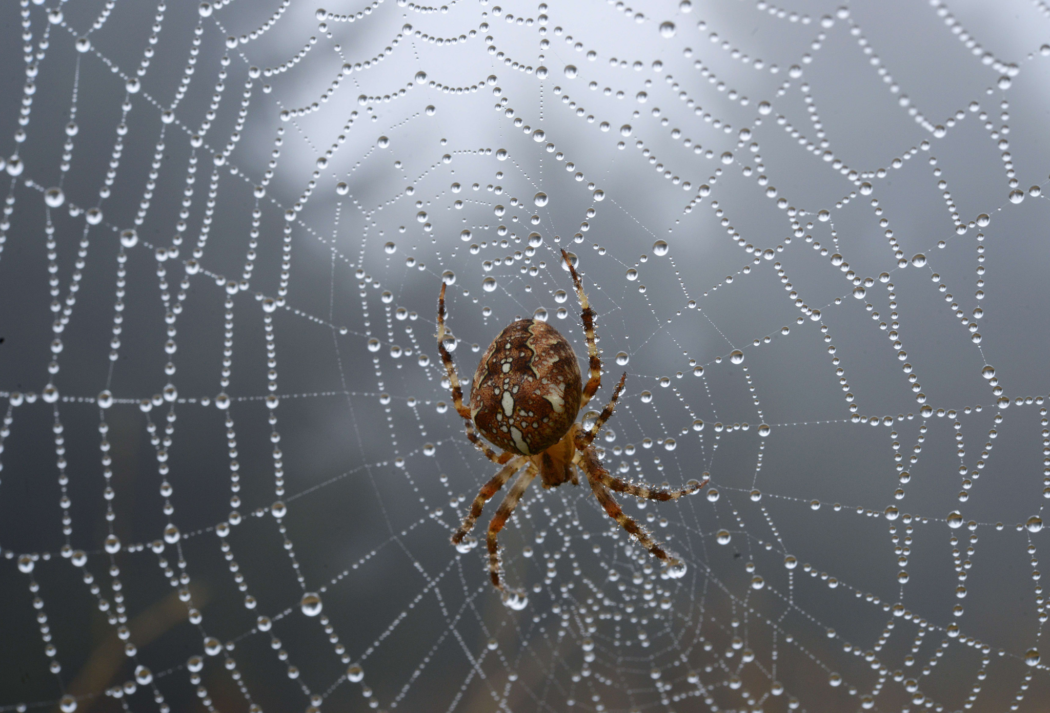 A spider is seen in its dew covered  web in Hohen Meissner, Germany.