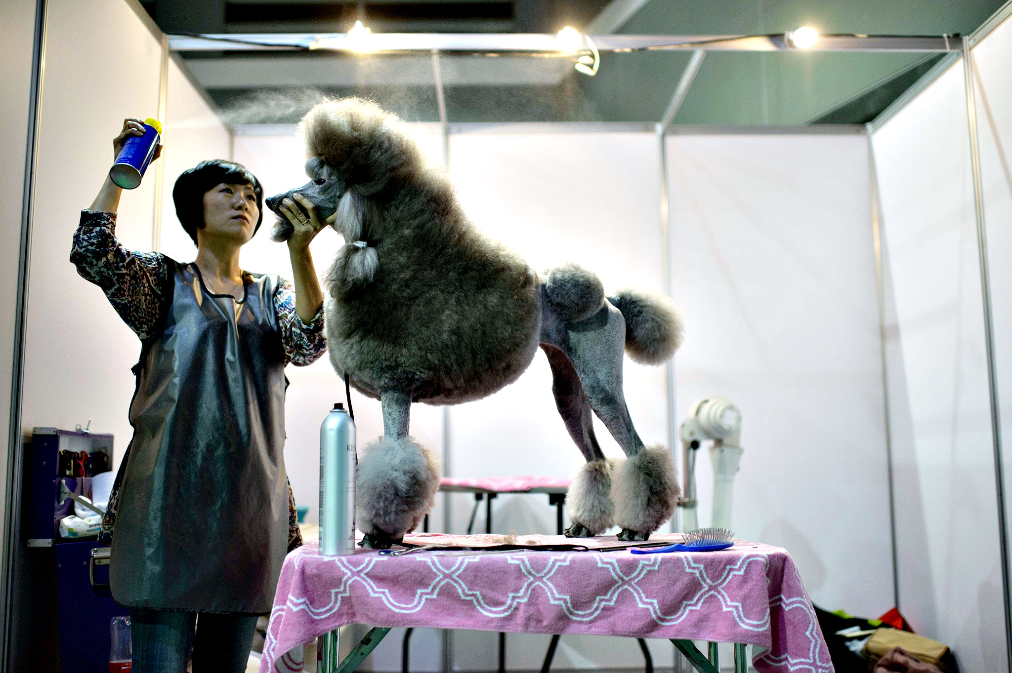 A dog owner sprays hairspray on her poodle backstage at a dog show in Seoul. Some 2000 dogs took part in the three-day show organised by the Korea Kennel Federation which was celebrating its 58th anniversary. Dog ownership in South Korea is a growing industry widely reported to have passed 10 million in 2013, with private expenditure on pet supplies increasing some 14 percent per year since 2000, according to a report by the Nonghyup Economic Research Institute.