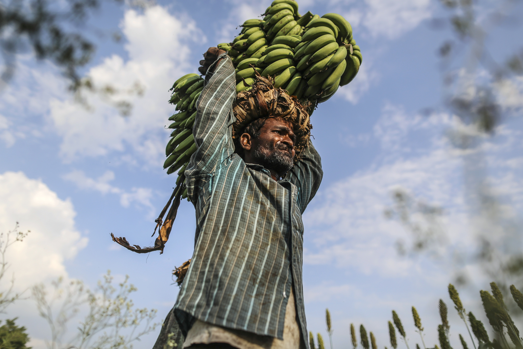 Banana Harvest As The Pick Up In Monsoon Rains Ease Price Concerns...A day laborer carries banana stems on his head during a harvest in a field in Bhusawal, Maharashtra, India, on Saturday, Oct. 4, 2014. More than 75 percent of India got normal monsoon rain this year, the India Meteorological Department estimates. About 833 million people out of Indiaís 1.2 billion population depend on agriculture for their livelihood and the sector provides 14 percent of the nationís gross domestic product. Photographer: Dhiraj Singh/Bloomberg