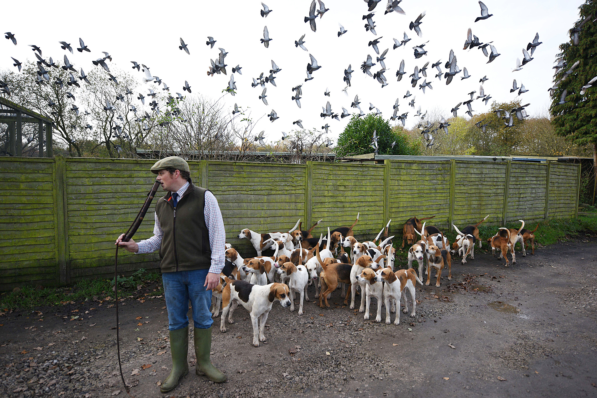 Steven Ashworth, the huntsman of the Hol...Steven Ashworth, the huntsman of the Holcombe Hunt, exercises his hounds near Bury, northern England, on October 31, 2014, before tomorrow's hunt which takes place on the first day of the official hunting season. The Holcombe Hunt is one of the UK's oldest hunts, whose lineage is traceable back to 1086. Today with the prohibition on hunting foxes and other wildlife with dogs in England, the Holcombe Hunt practice 'trail hunting', where a scent is laid down in a trail for the hounds to follow, simulating the hounds catching the scent of the hunt's quarry.  AFP PHOTO / OLI SCARFFOLI SCARFF/AFP/Getty Images