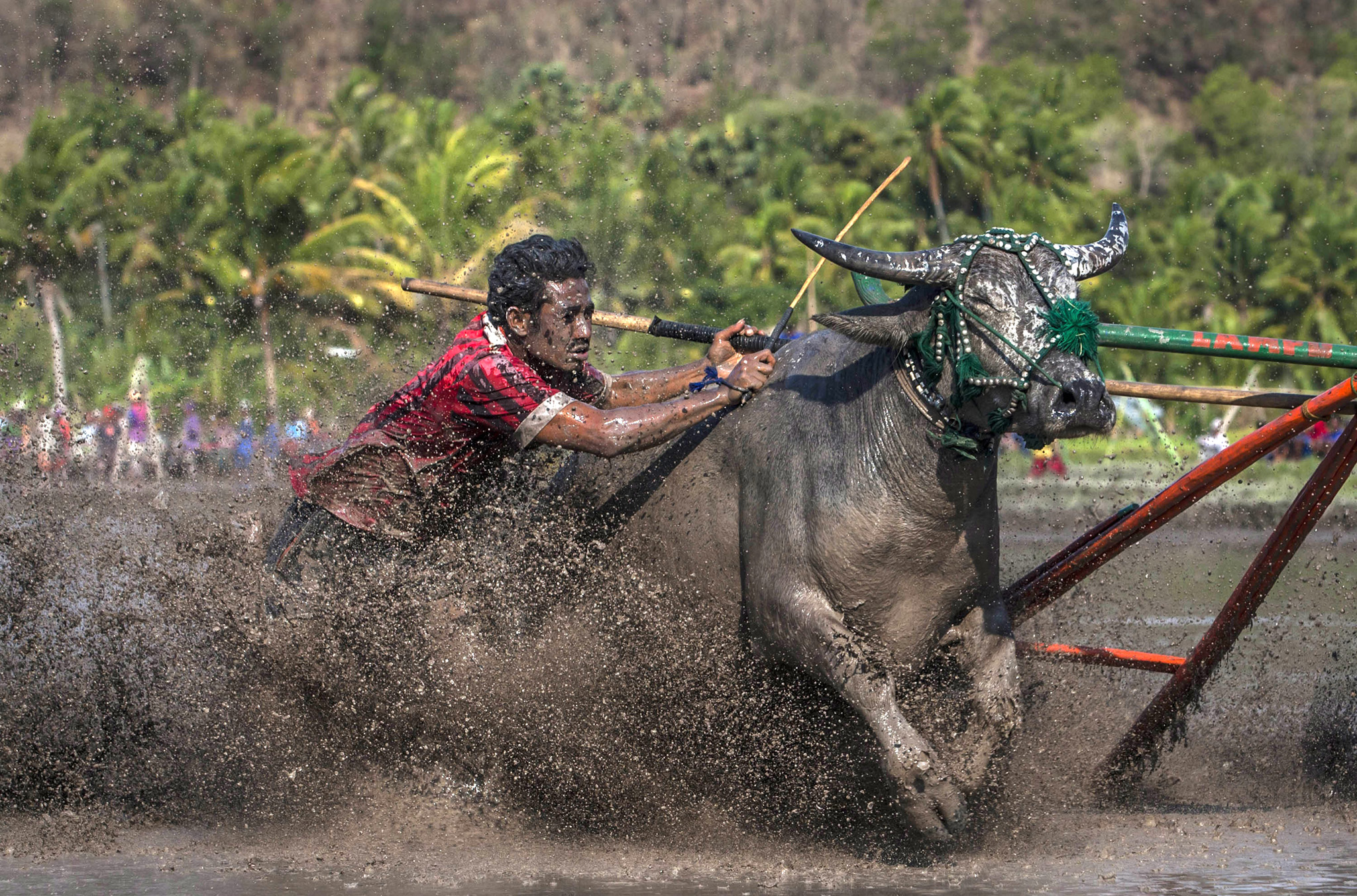 Revelers Gather For Annual Moyo Festival...SUMBAWA, WEST NUSA TENGGARA, INDONESIA - SEPTEMBER 30:  A jockey spurs the buffalos as they race during Barapan Kebo or buffalo races as part of the Moyo festival on September 30, 2014 in Sumbawa Island, West Nusa Tenggara, Indonesia. The traditional Buffalo races, known as Barapan Kebo, are held by Samawa tribes in muddy rice fields to celebrate and provide entertainment ahead of the annual planting season. Jockeys secure themselves on a wooden structure attached to the buffalo, and maneuver across the mud in a race to the finish line. The jockeys weild long sticks, in a similar style to jousting, and direct them towards targets called 'Saka'. (Photo by Ulet Ifansasti/Getty Images)