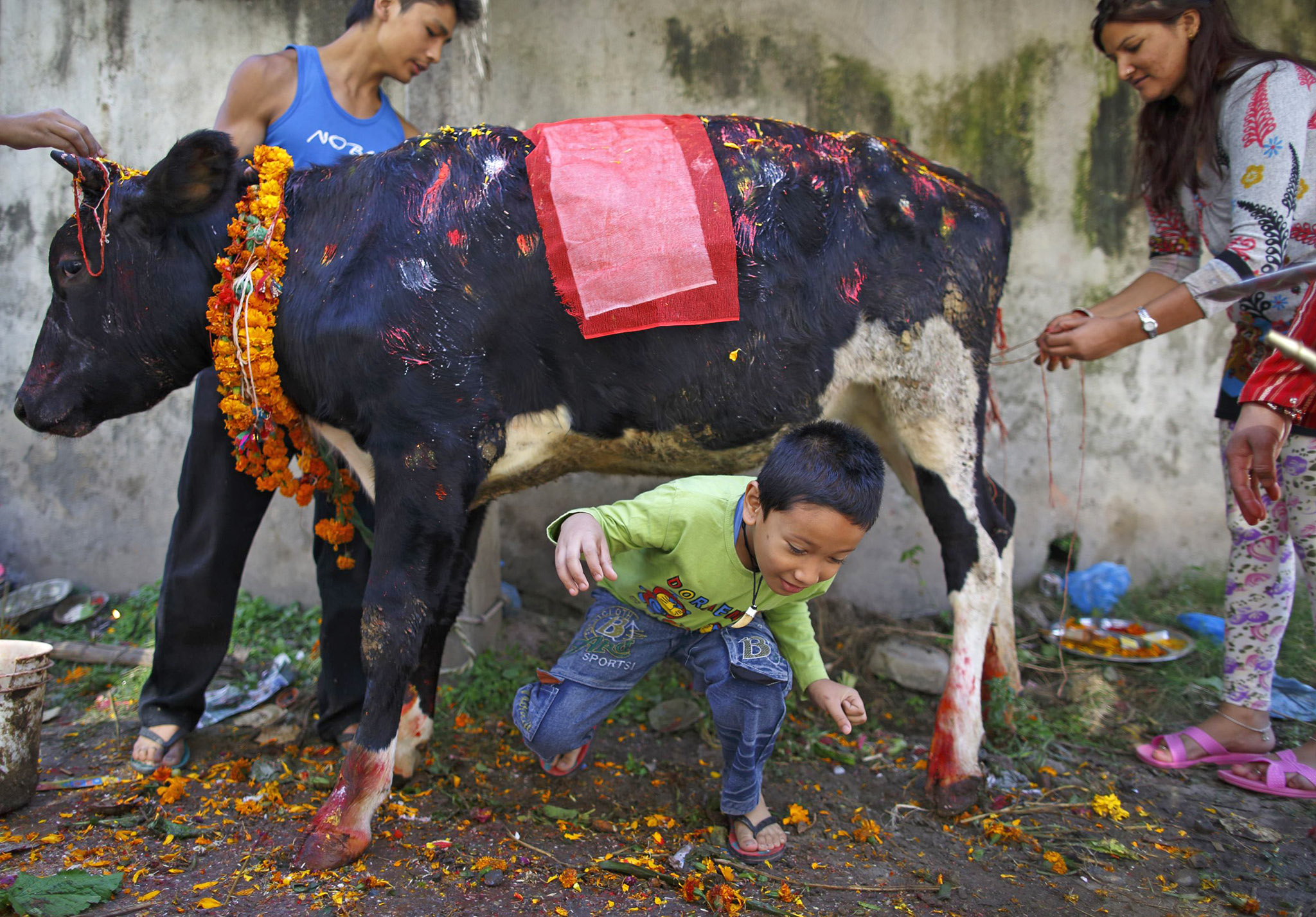 A boy crawls under a cow during a religious ceremony celebrating the Tihar festival, also called Diwali, in Kathmandu