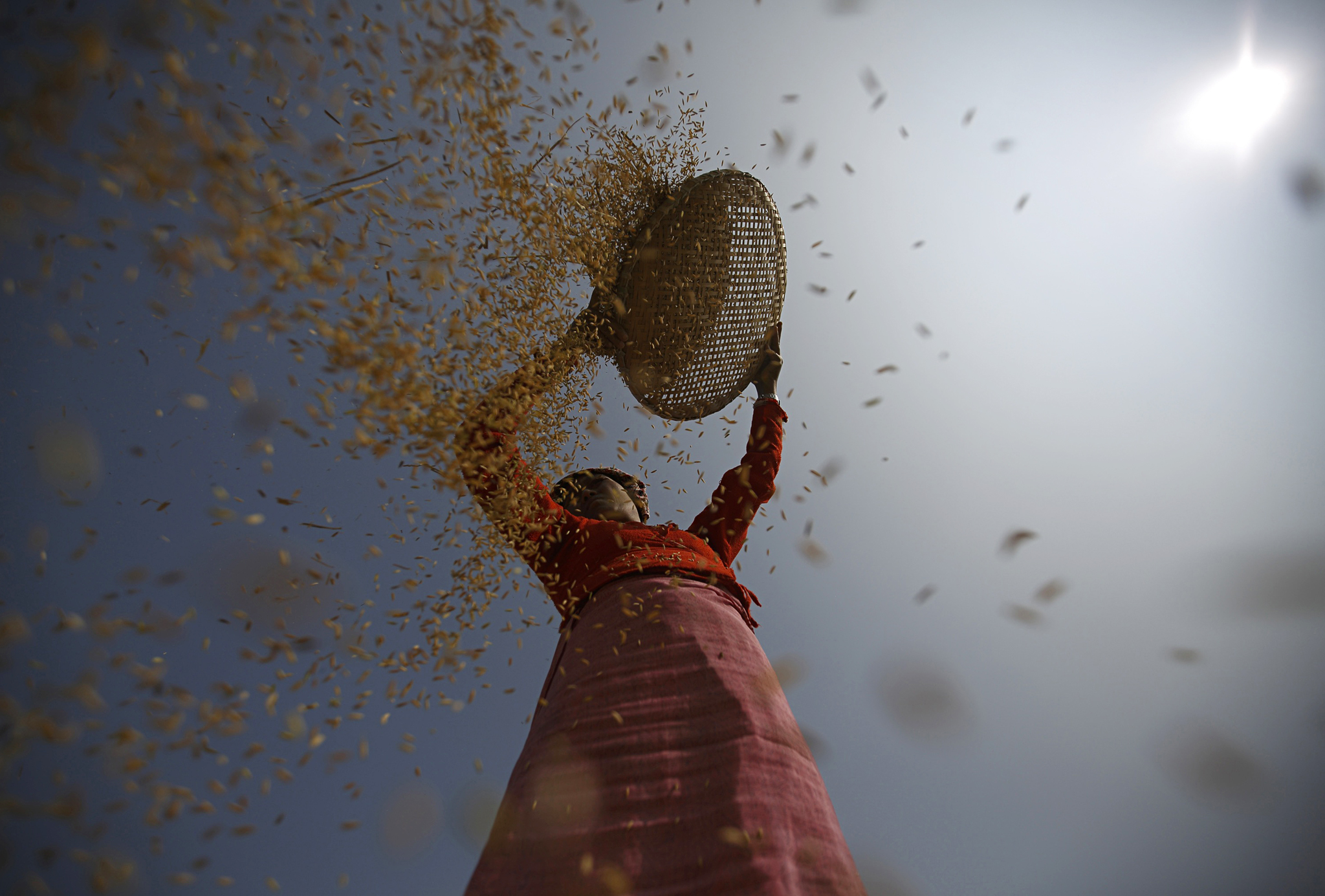 A farmer harvests rice on a field in Lalitpur, Nepal