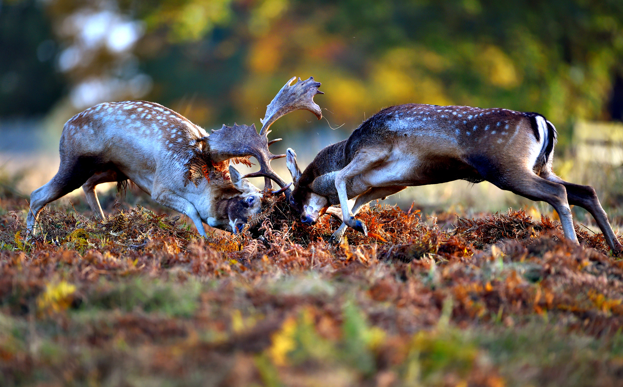 Fallow deer challenge each other during the rutting season on October 17, 2014 in Bradgate Park, Leicestershire, United Kingdom.  Autumn sees the start of the 'Rutting' season, stags can be heard roaring and barking in an attempt to attract females known as bucks. The larger males can also be seen clashing antlers with rival males.