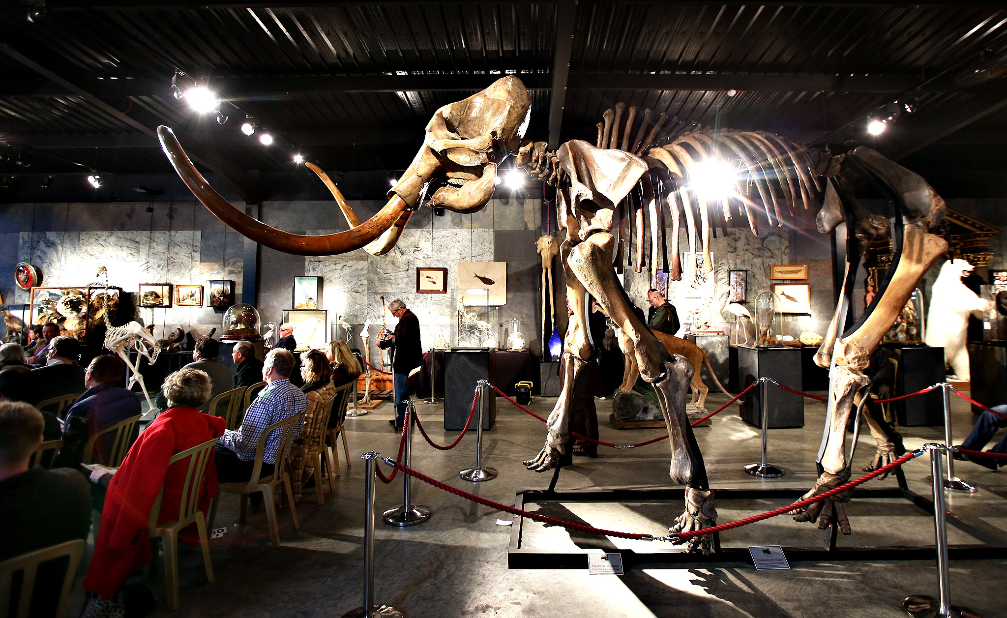 A woolly mammoth skeleton is displayed at Summers Place Auctions on November 26, 2014 in Billingshurst, England. The ice age mammoth skeleton, complete with tusks, fetched  189,000 to a telephone bidder. The woolly mammoth died out about 10,000 years ago. Errol Fuller, the curator of the sale, said: 'This is a virtually complete Mammoth skeleton with beautiful tusks, which makes it particularly rare. Its impressive size of 3.5 metres  (11'6) height and 5.5 metres (18') long, suggests it may be a male Mammoth and may have weighed up to six tonnes in its lifetime'.