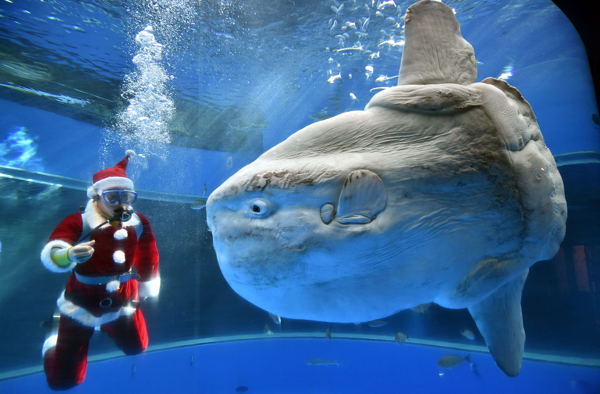 A diver wearing a Santa Claus costume feeds a sunfish to attract visitors at the Hakkeijima Sea Paradise aquarium in Yokohama, suburban Tokyo