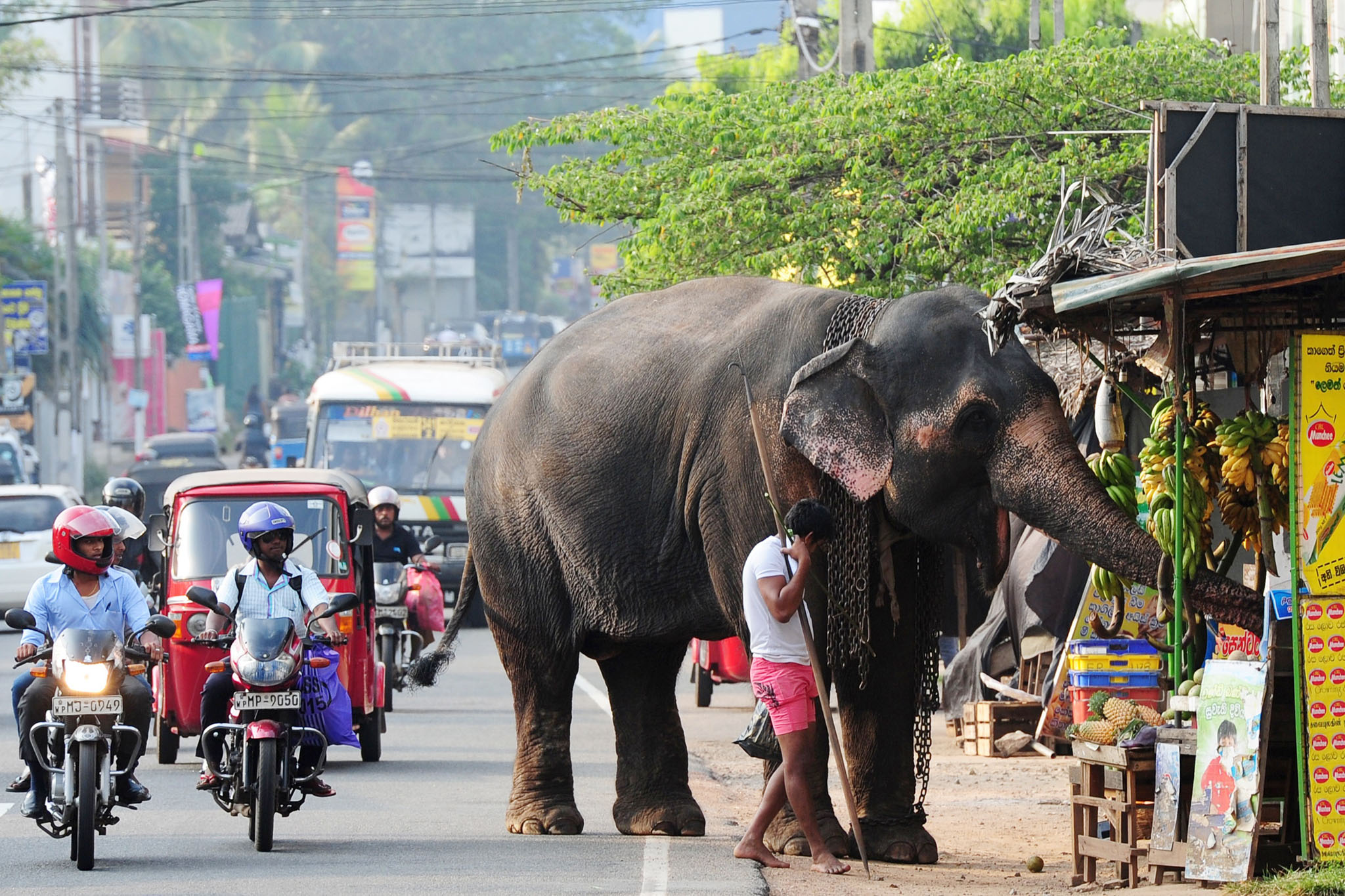 A Sri Lankan elephant, accompanied by hi...A Sri Lankan elephant, accompanied by his mahout, browse through a roadside fruit stall in Colombo on January 19, 2015. The Sri Lankan elephant is listed as endangered by the International Union for Conservation of Nature (IUCN) as the population has declined by at least 50 percent over the last three generations, with the species threatened by habitat loss, degradation and fragmentation. AFP PHOTO / LAKRUWAN WANNIARACHCHILAKRUWAN WANNIARACHCHI/AFP/Getty Images