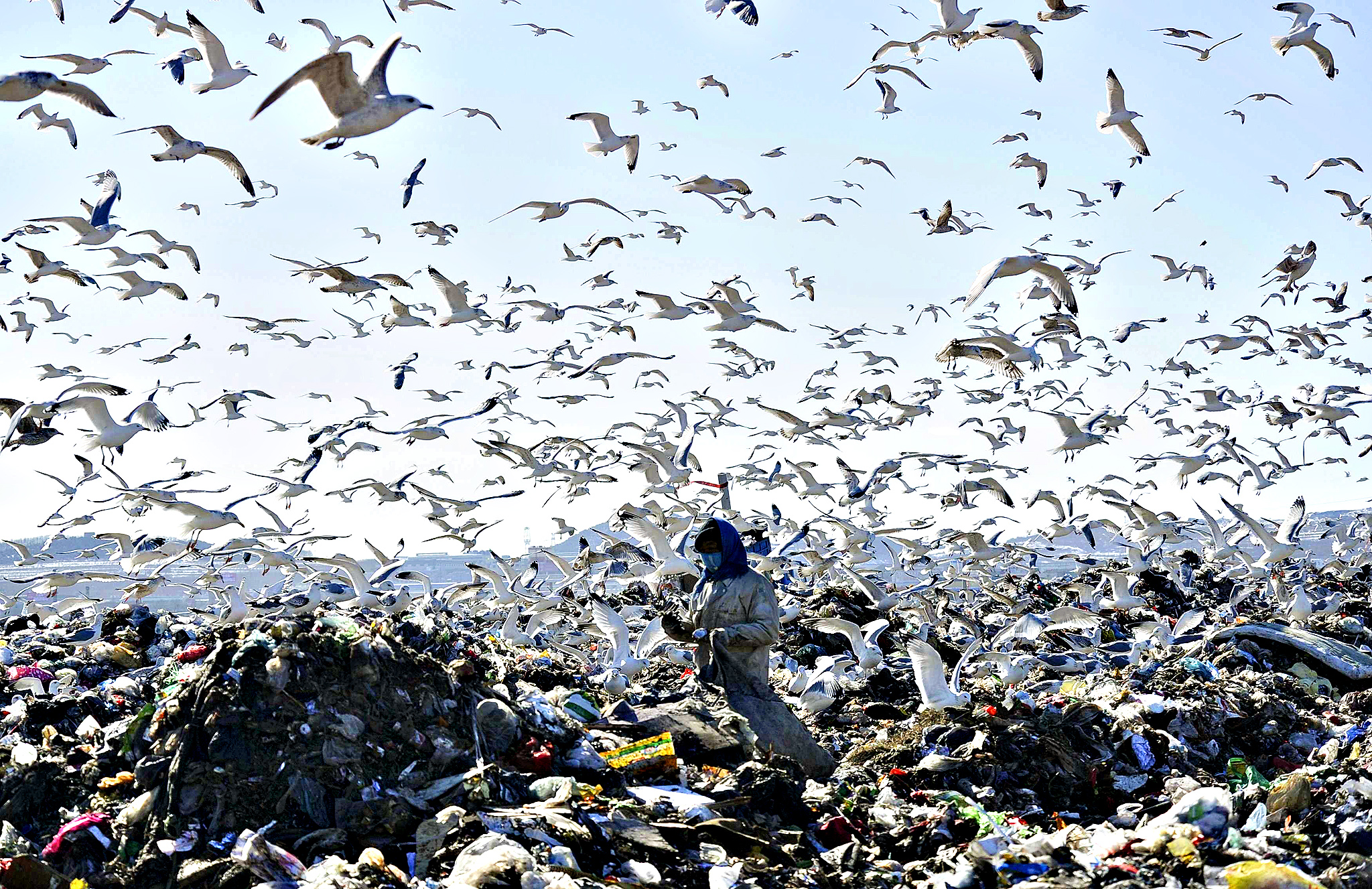 A woman picks up recyclable materials, as seagulls look for food, at a dump site of a garbage disposal plant in Dalian, Liaoning province January 30, 2015.